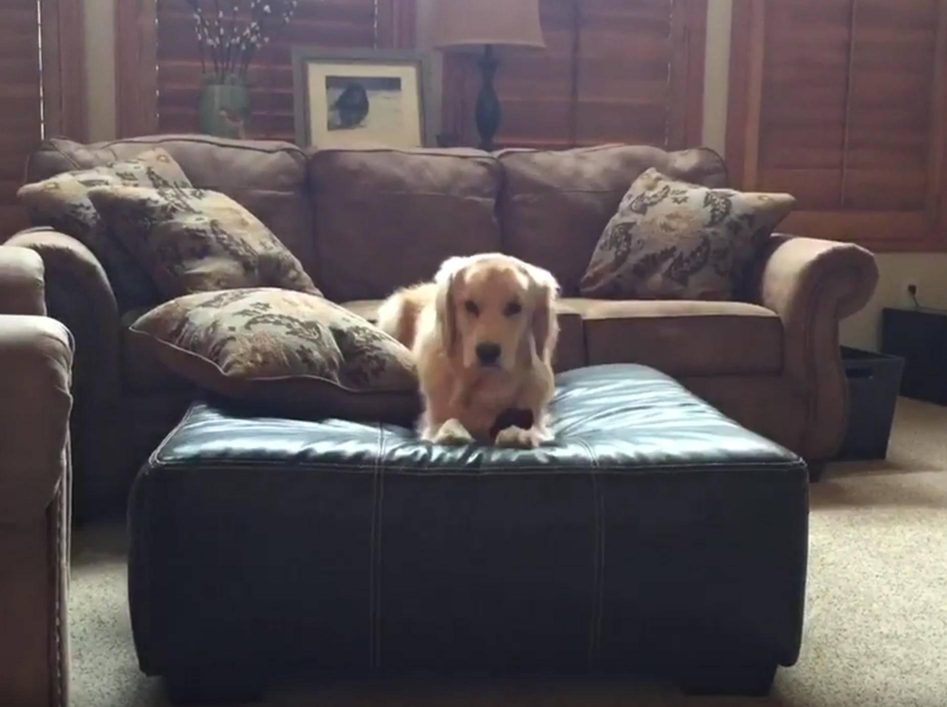 Golden Retriever turnt auf der Couch herum wie ein Weltmeister – YouTube / Rumble Viral