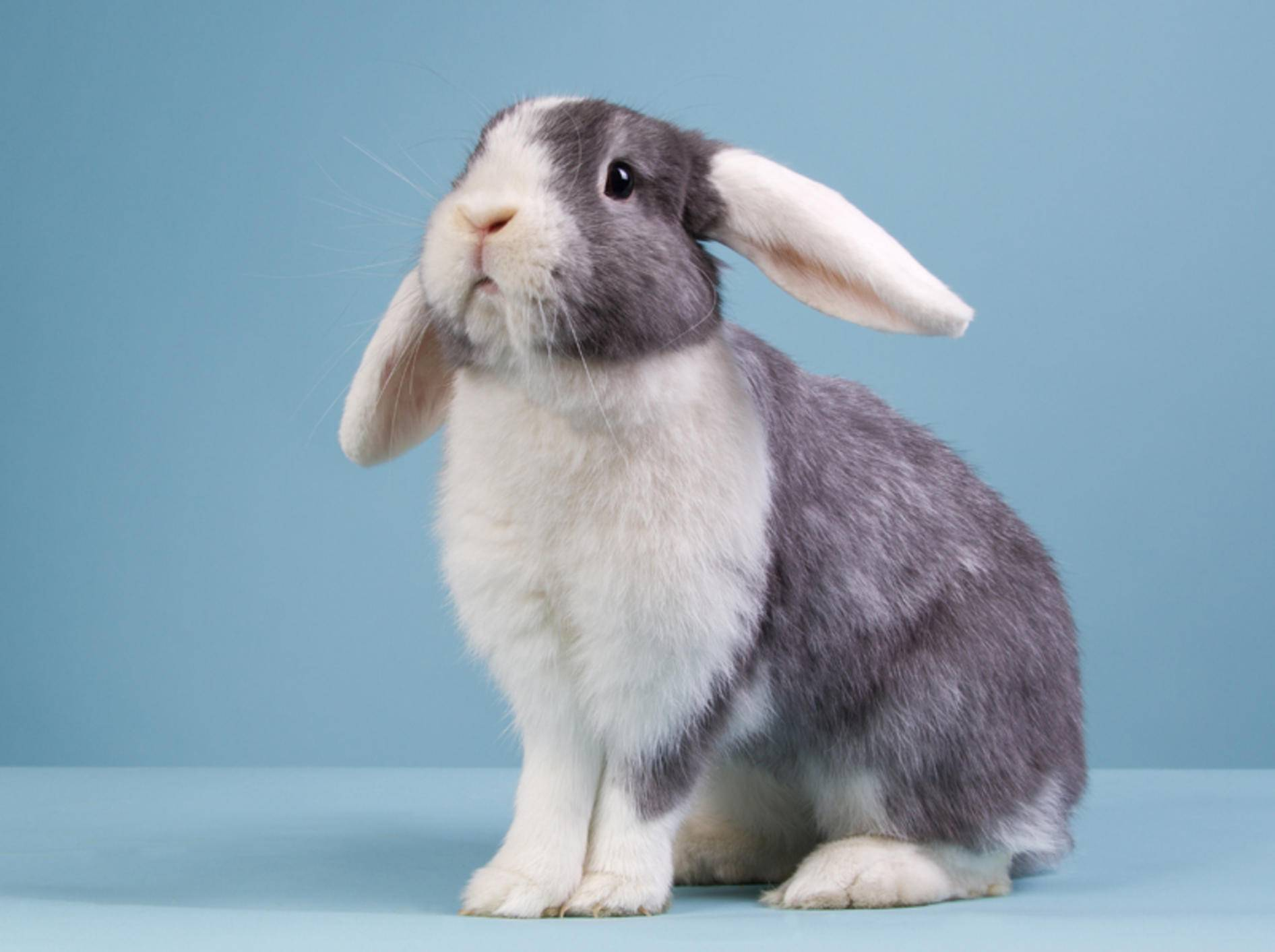 Zwergwidder sind die kleinsten Vertreter unter den Kaninchenrassen mit Schlappohren – Shutterstock / Dagmar Hijmans