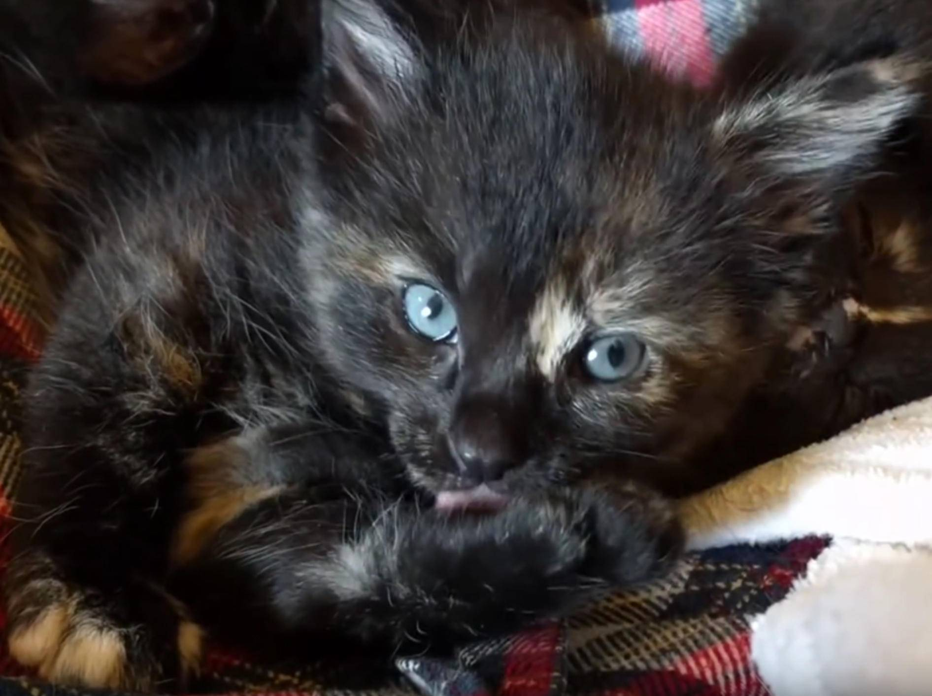 "Schildpatt-Kätzchen Apple bei der ""Pfotiküre"" – YouTube / Kitten Academy"