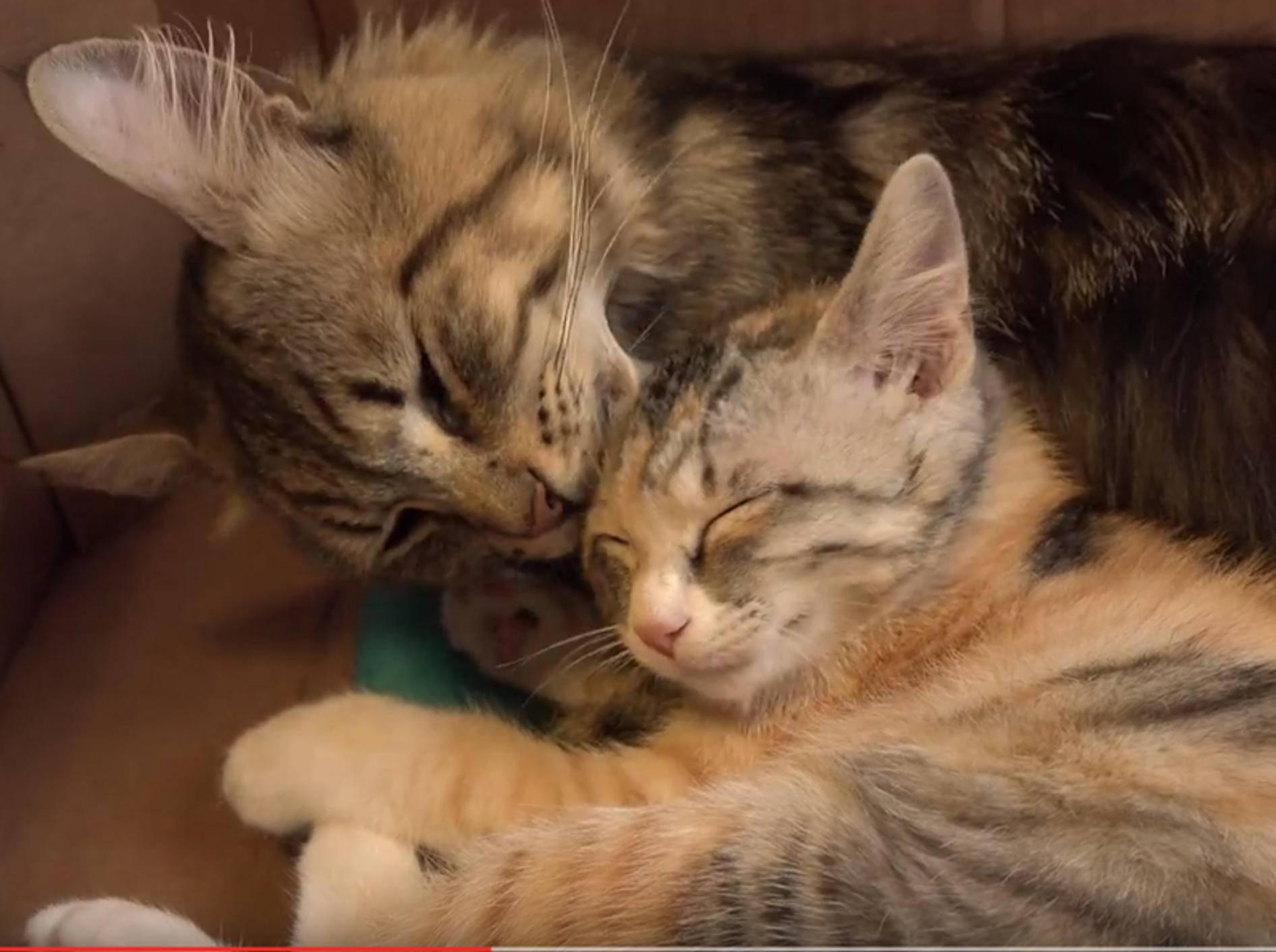 Glückskätzchen Momo und Kater Osamu sind beste Kuschelfreunde – YouTube / 10 Cats.