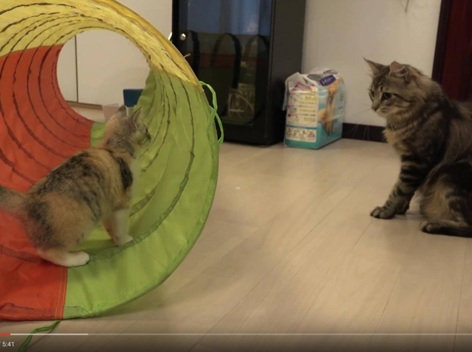 Kater Osamu will sich mit Kätzchen Momo anfreunden – YouTube / 10 Cats.