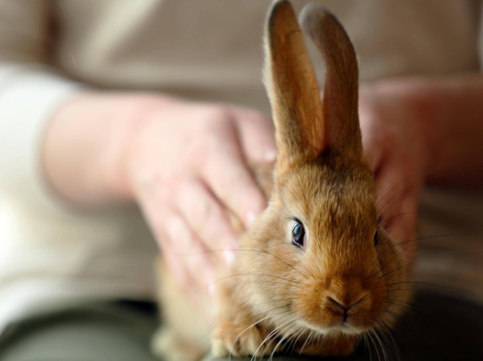 Insbesondere Kaninchen mit Stehohren verfügen über eine klare Körpersprache. – shutterstock / Africa Studio