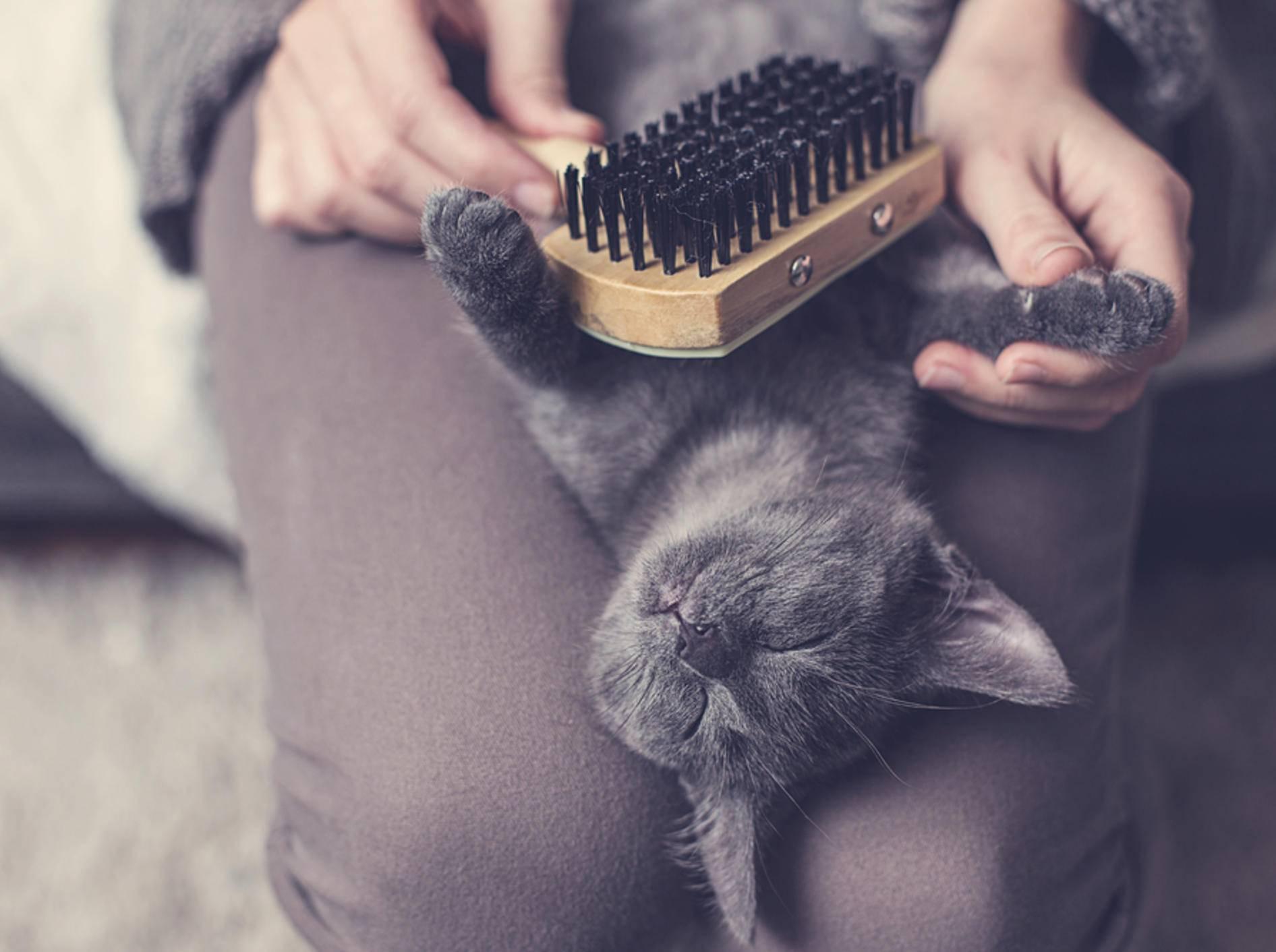 Die hübsche Samtpfote genießt offensichtlich die zusätzliche Fellpflege durch ihren Menschen – Shutterstock / ajlatan