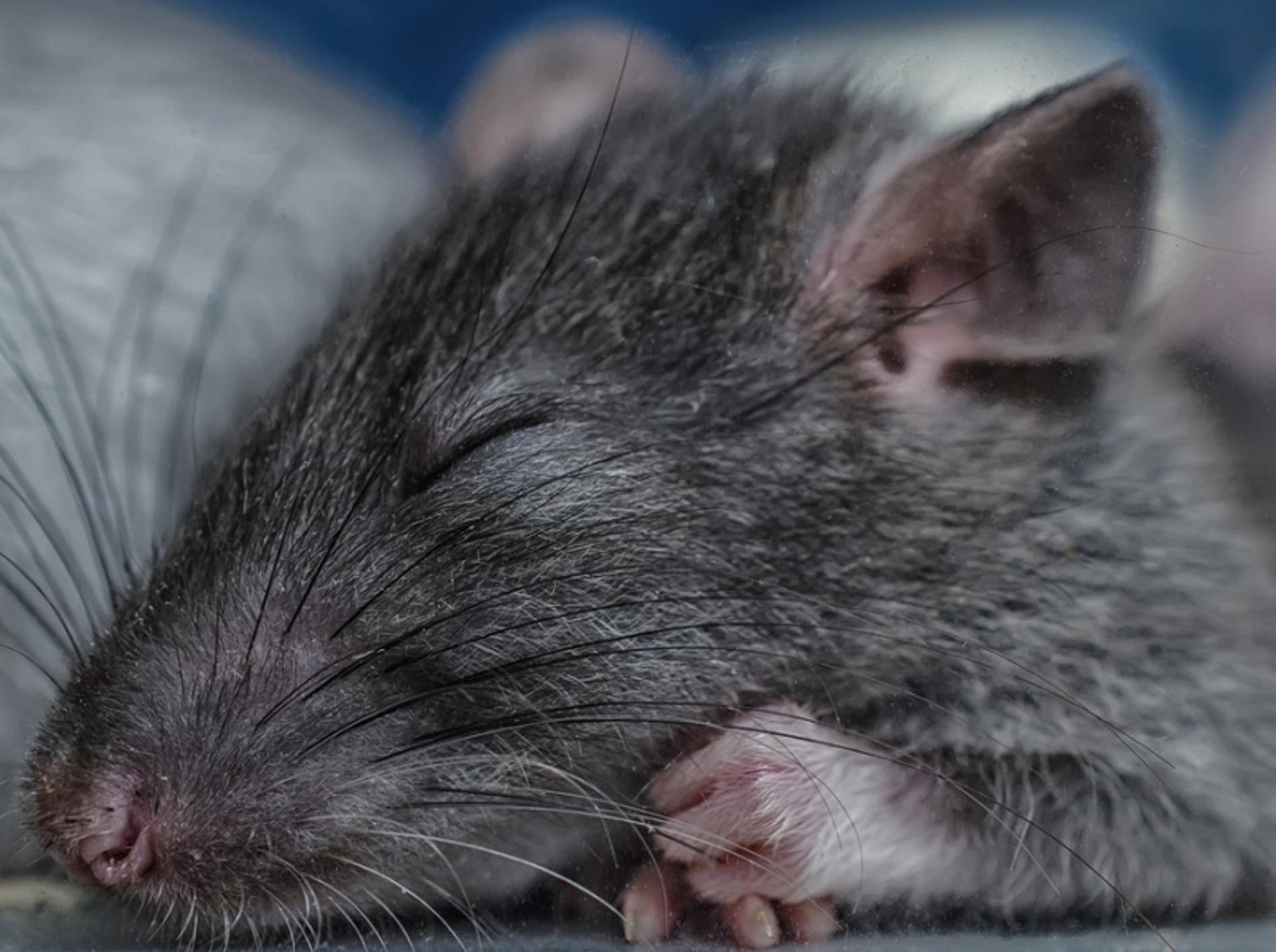 Der süße Fratz erholt sich von seiner Operation und schläft sich kräftig aus! – Shutterstock / Preobrajenskiy