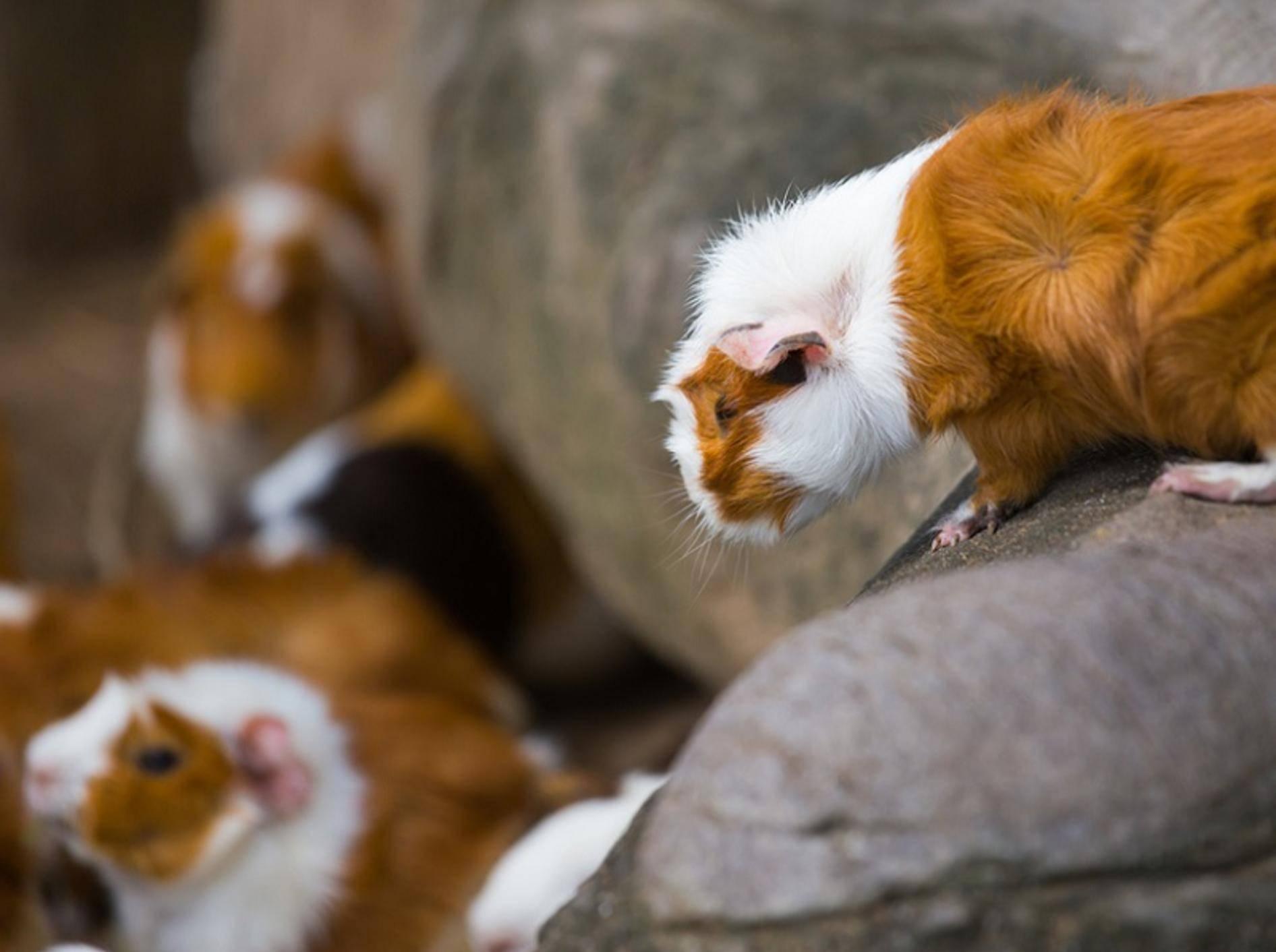 In einer Meerschweinchengruppe hat ein Tier das Sagen und sorgt für ein harmonisches Zusammenleben – Shutterstock / Soultkd