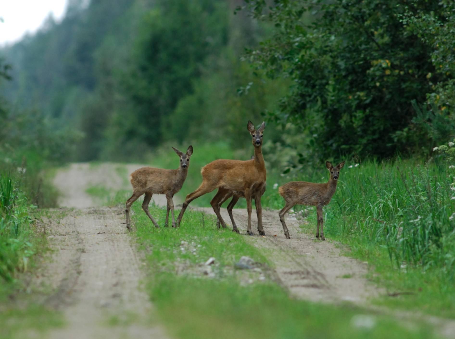 Rehe und andere Wildtiere treiben sich vor allem an Wald- und Feldrändern herum – Shutterstock / Erik Mandre