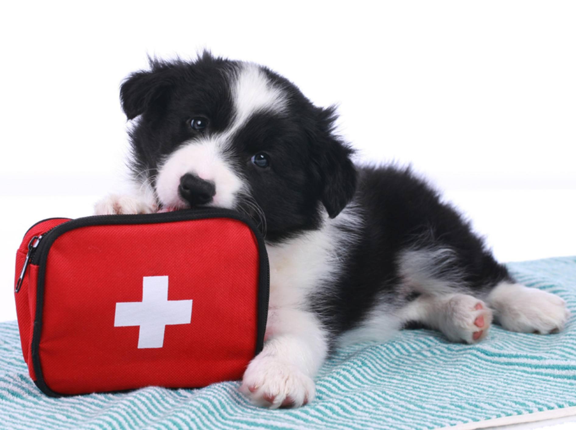 """""""Nicht ohne meine Reiseapotheke"""", scheint dieser süße Border-Collie-Hundewelpe zu denken – Shutterstock / absolutimages"""