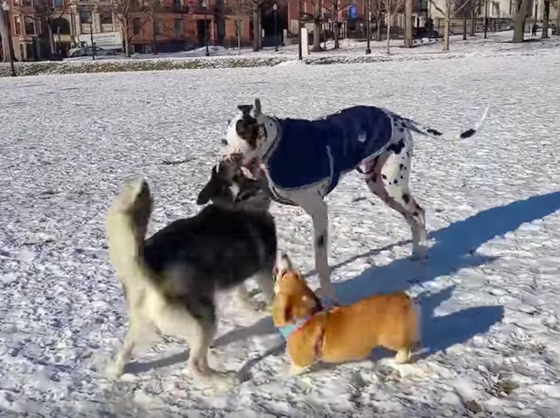 """""""Manno, lasst mich mitspielen!"""": Corgi will mit großen Hunden toben – YouTube / Rumble Viral"""