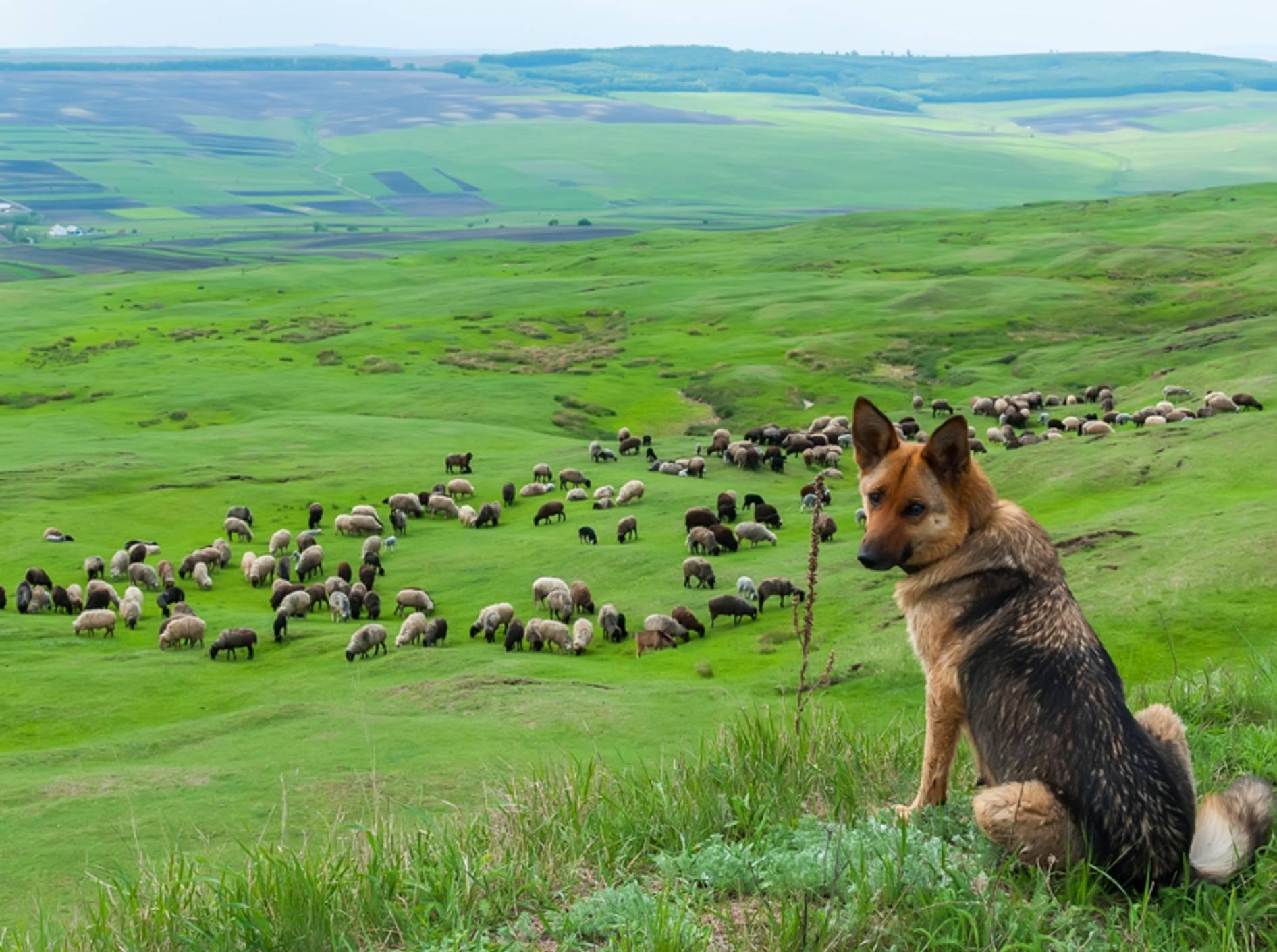 Sind Deutsche Schäferhunde eigentlich Hirtenhunde, Hütehunde oder Herdenschutzhunde? – Shutterstock / miroslavmisiura