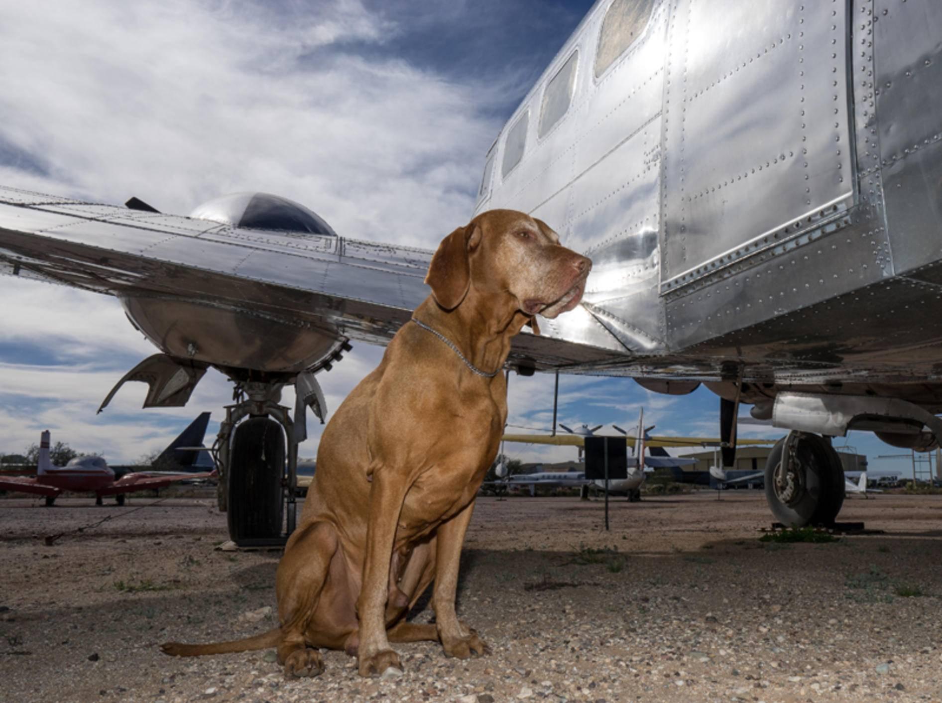 Große Hunde wie dieser Vierbeiner müssen im Flugzeug im Frachtraum bleiben – Shutterstock / Barna Tanko