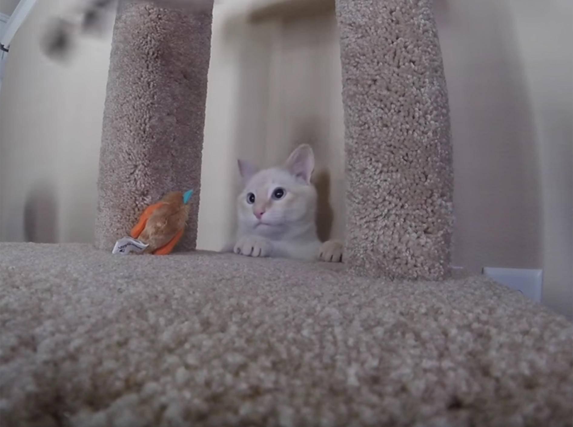 Katerchen Lazarus freut sich riesig über neuen Kratzbaum – YouTube / Frozen Kitten