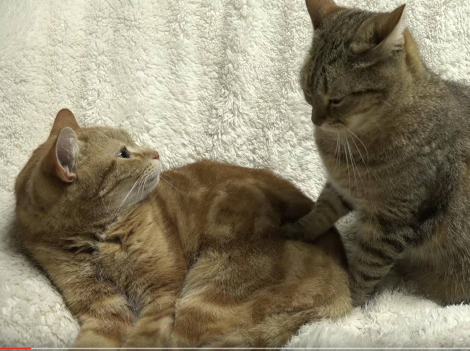 Katze May gibt ihrem Papa liebevolle Katzenmassage – YouTube/10 Cats.