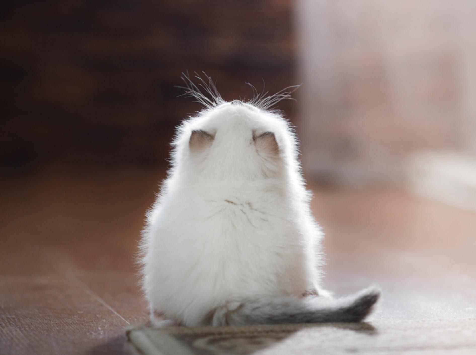 """""""Ui, sooo viel gibt es über uns zu wissen!"""", staunt dieses zuckersüße Ragdoll-Katzenbaby – Shutterstock / dezi"""