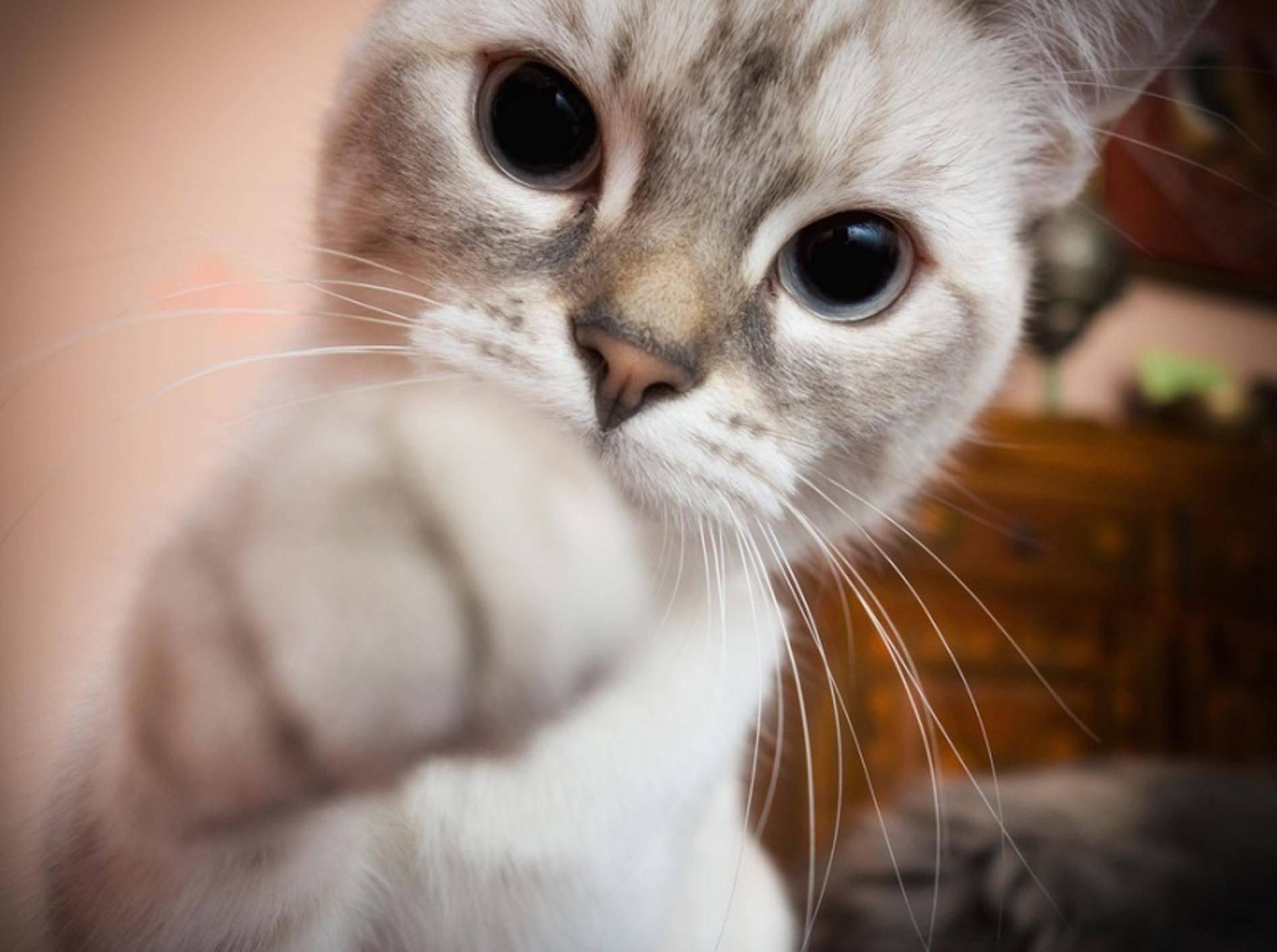 Ihre Katze möchte Ihnen bestimmt etwas sagen, wenn sie Sie anstupst – Shutterstock / Valerio Pardi