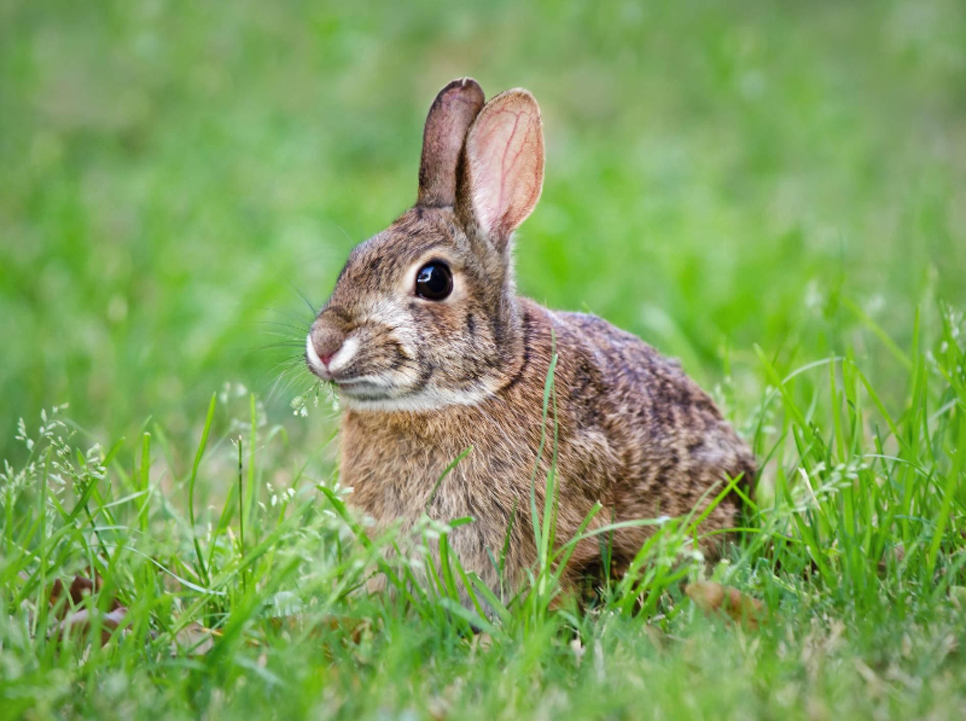 Nicht selten kommen ausgebüxte Kaninchen von alleine wieder zurück zu ihren Artgenossen und zu ihrem Futternapf – Shutterstock / Leena Robinson