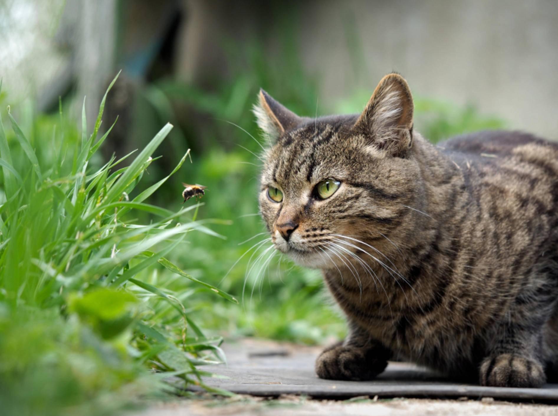 """""""Mhhh, da wird der Panther in mir geweckt. Die Biene schnapp ich mir!"""", denkt sich diese Katze – Shutterstock / Irina Kozorog"""