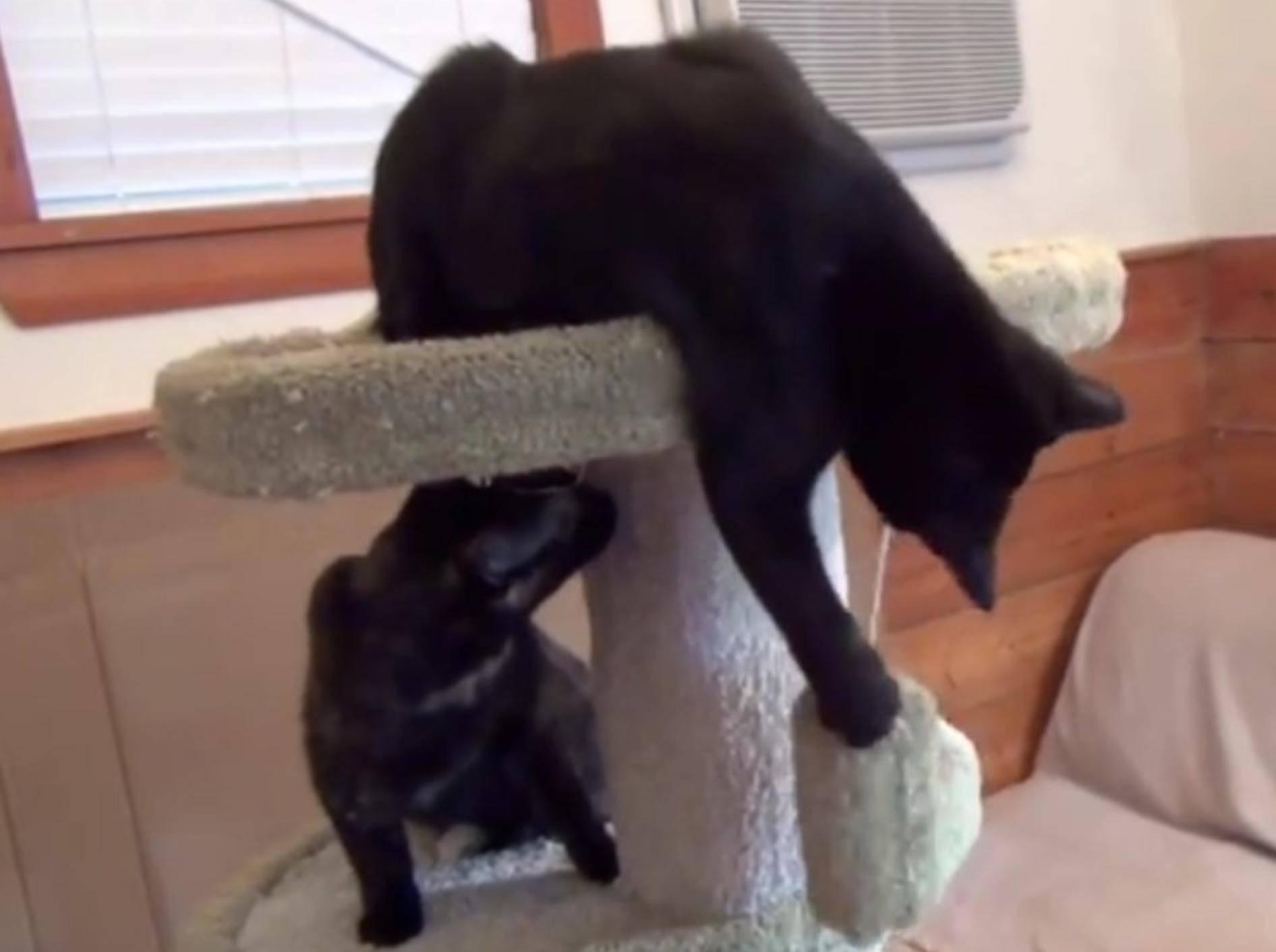 Ein Kratzbaum ist für Katzen enorm wichtig – YouTube / DrNworb's KitsCats