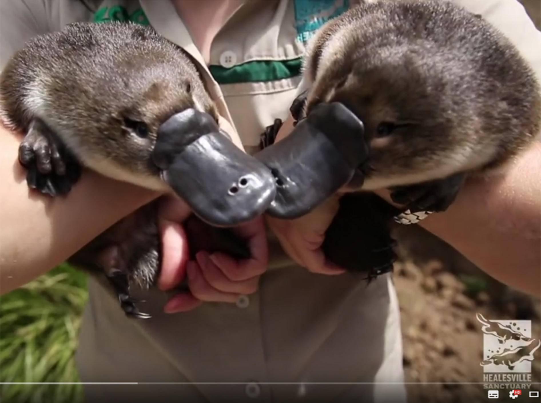 Baby-Schnabeltiere sind sooo niedlich! – YouTube / ZoosVictoria