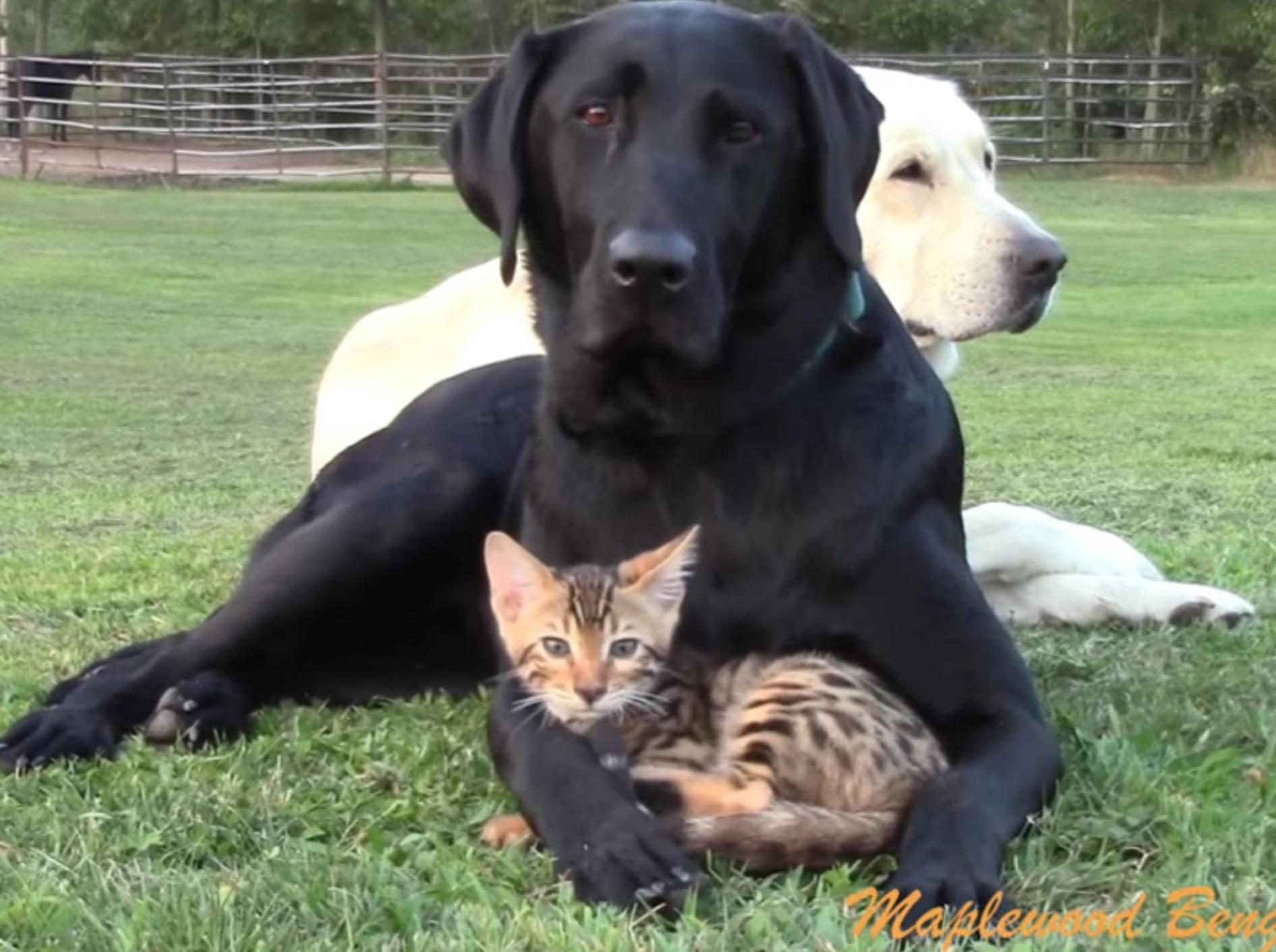 Kleine Bengalkatze und Hunde sind allerbeste Kumpels – YouTube / Maplewood Bengals