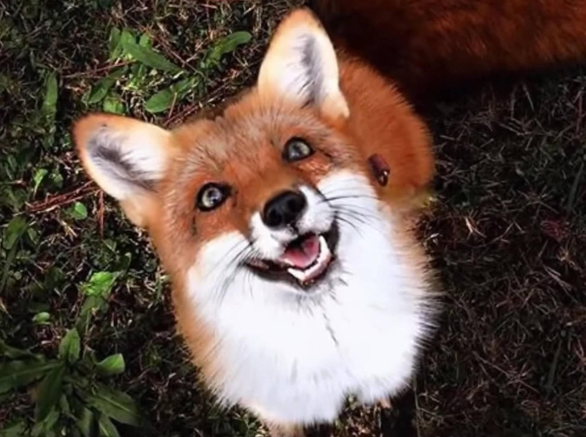 Die süße Fuchs-Dame Juniper verzaubert jeden im Nu – YouTube / SlideShow ForFun