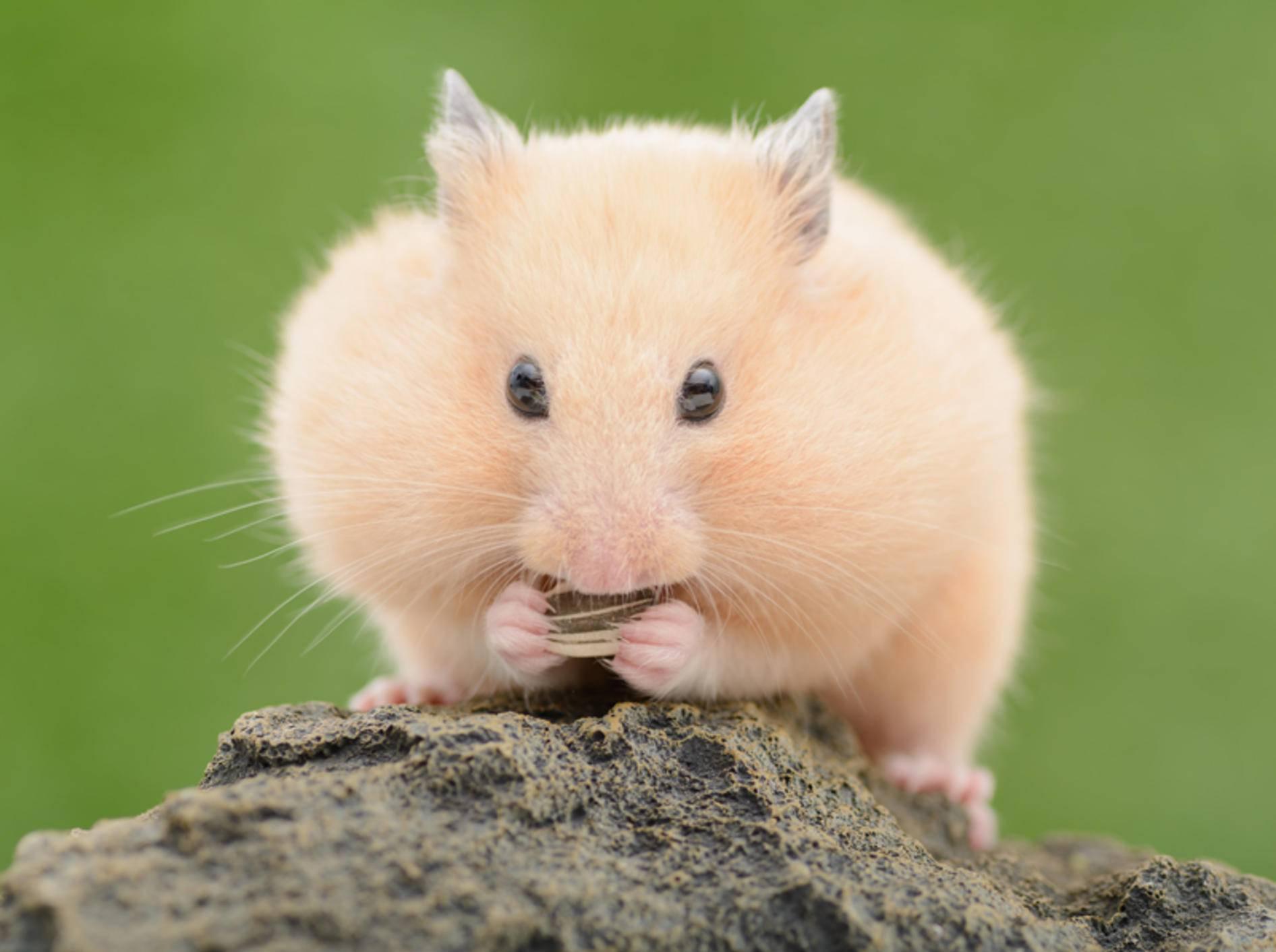 Hamster sollten nicht unterschätzt werden – schlechte Haltungsbedingungen sind ein möglicher Grund für Kannibalismus – Shutterstock / stock_shot