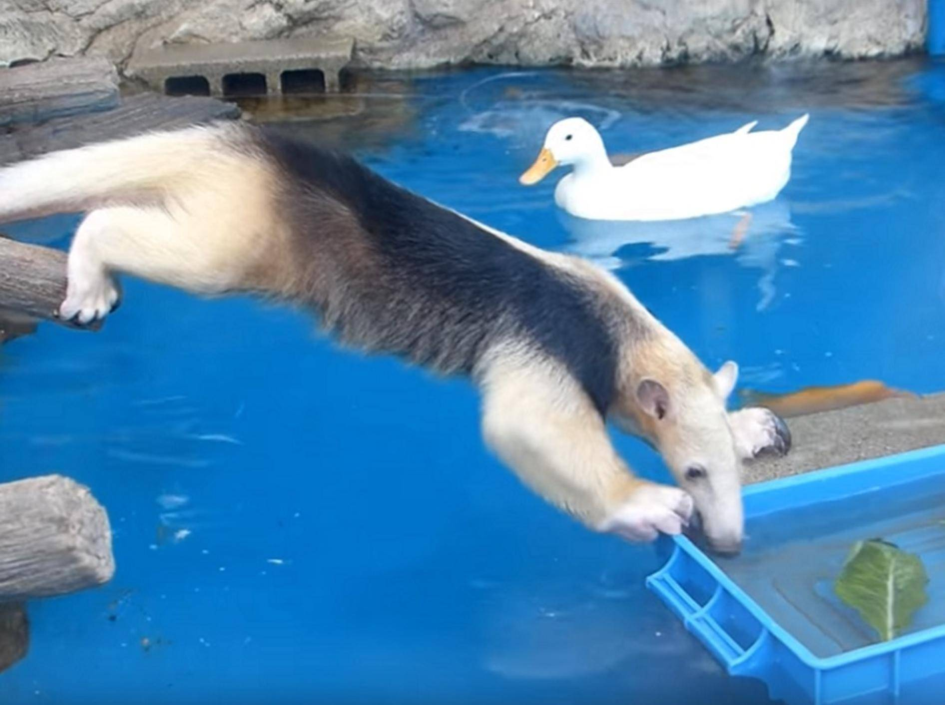 Tamandua angelt nach Futterbox und plumpst fast ins Wasser – Youtube / Muny Rakko