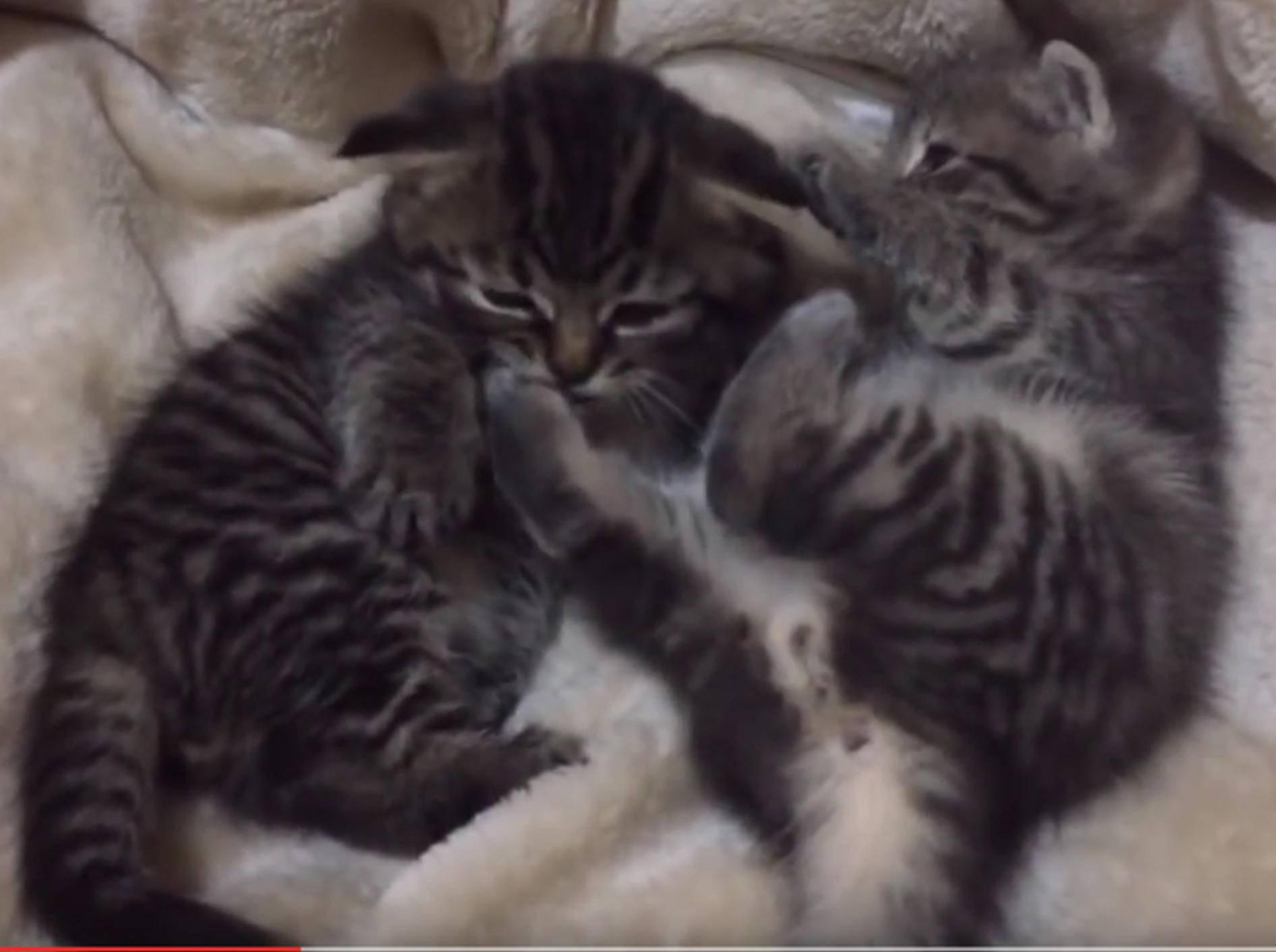 Zwei Minimiezis putzen sich und haben sich lieb – YouTube / foster kittens