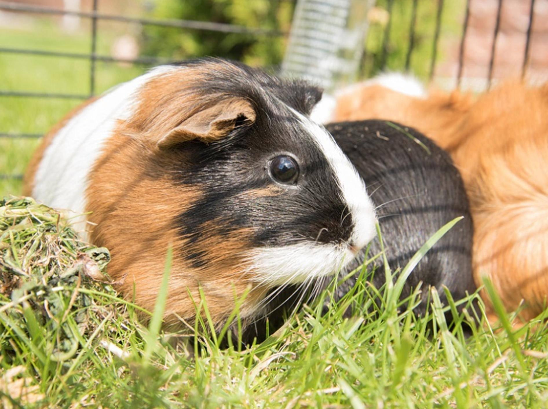 Es gibt einige Gründe, warum Meerschweinchen sich manchmal streiten – Shutterstock / Dantyya