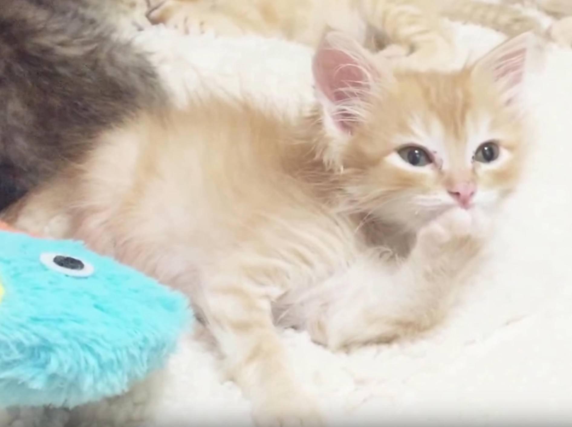 Rotes Tigerkätzchen Boris putzt sich und schnurrt – YouTube / foster kittens