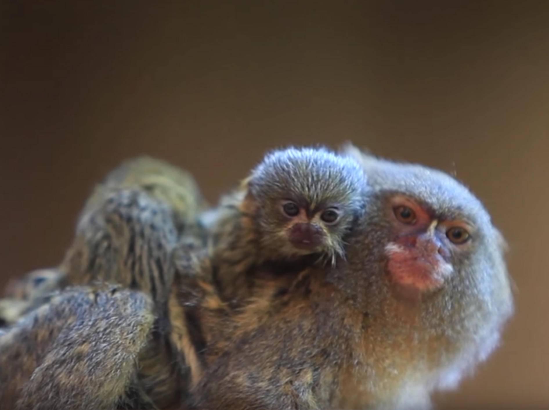 Zwergseidenäffchen-Mama und ihre süßen Minibabys – YouTube / Symbio Wildlife Park