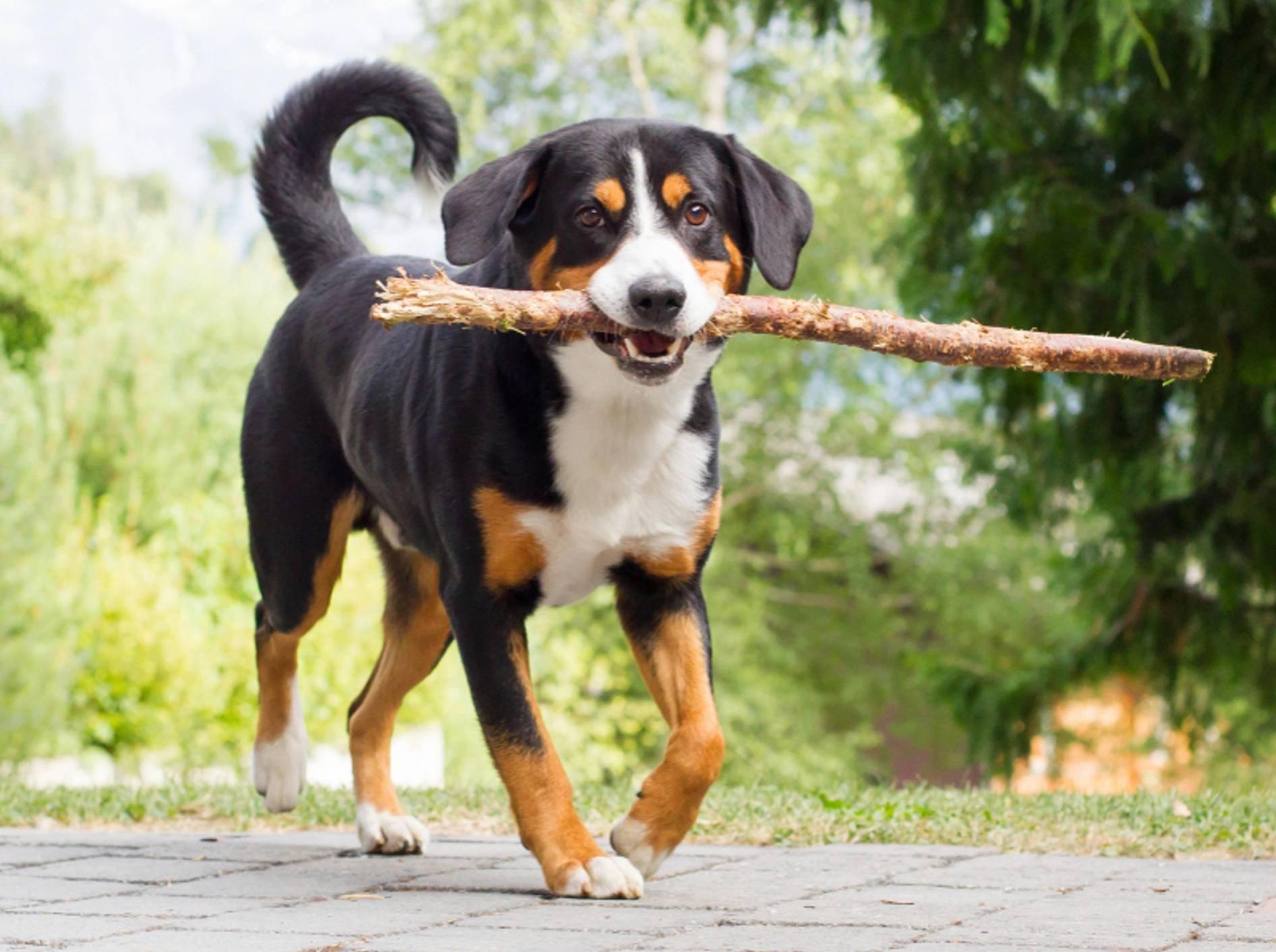 Dieser junge Appenzeller Sennenhund hat Freude am Apportieren – Shutterstock / MyImages - Micha