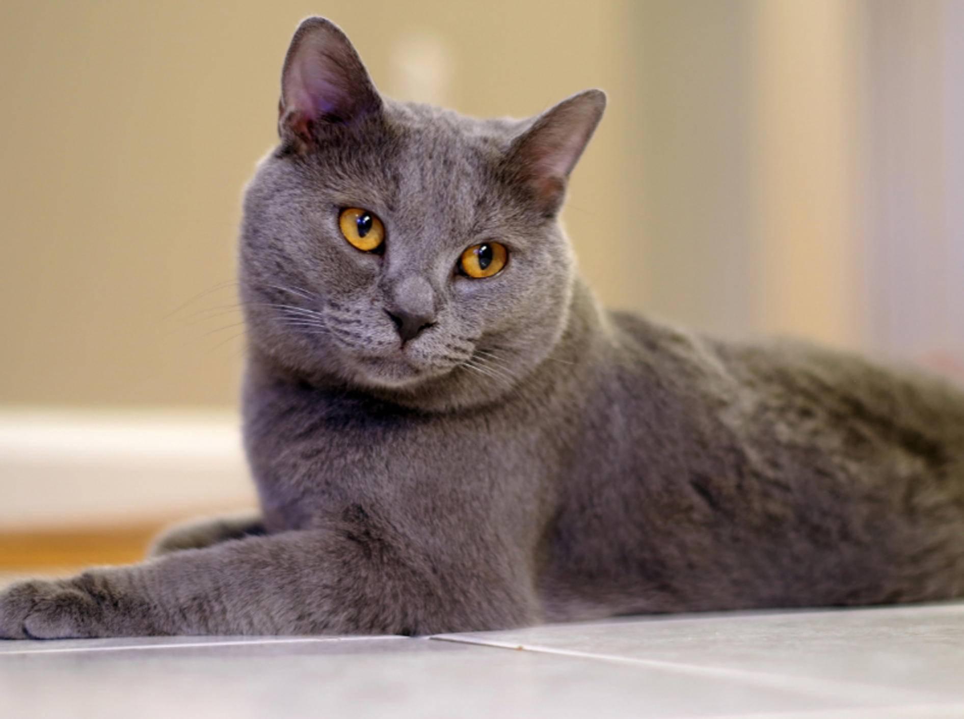 Die Chartreux ist eine besondere Katzenrasse, die Edel und anmutig wirkt – Shuttertsock / Michael Hahn