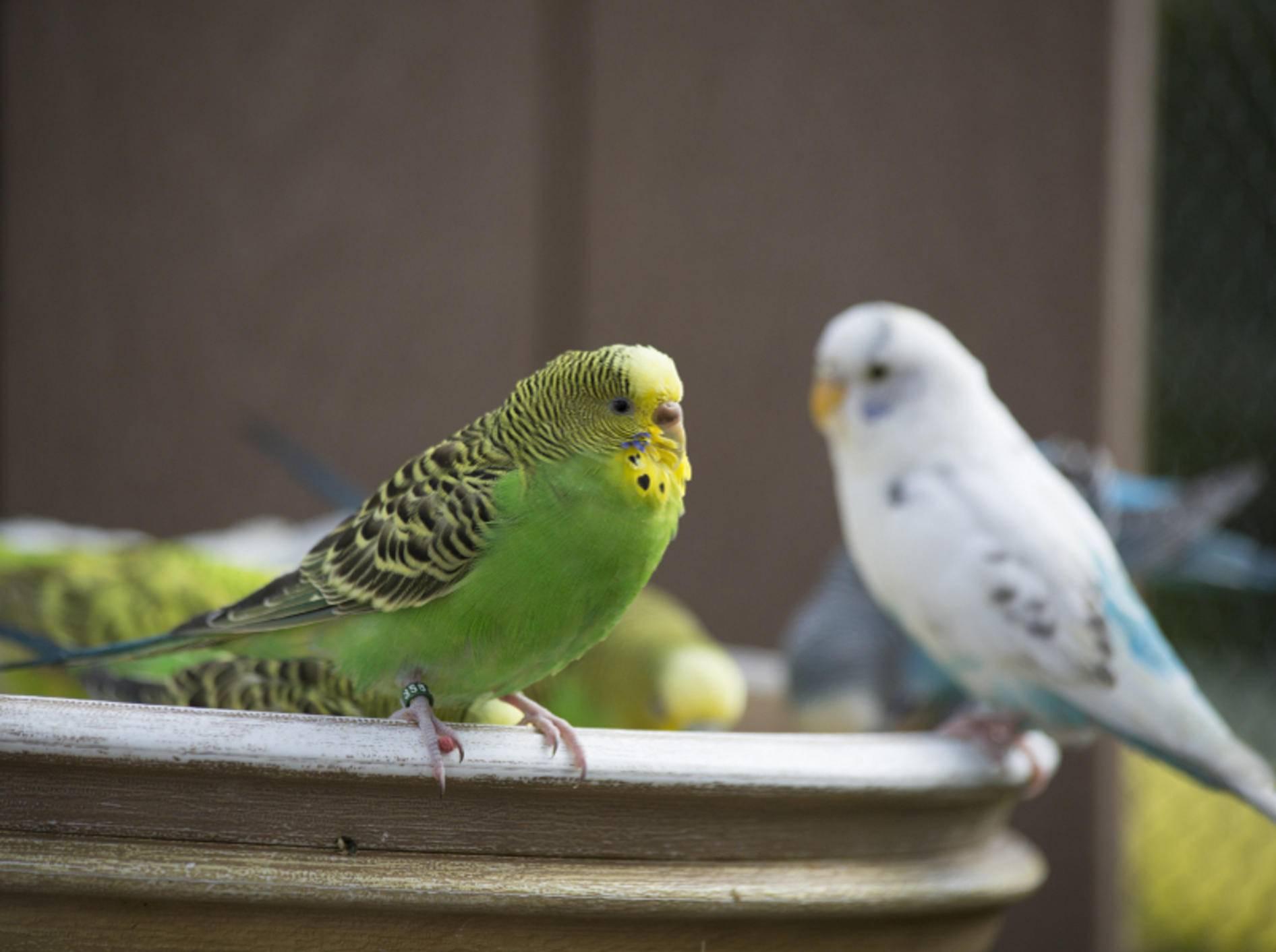 Im Winter geht es vor allem darum, dass es die Wellensittiche und andere Vögel warm in ihrer Voliere haben – Shutterstock / Brandy McKnight