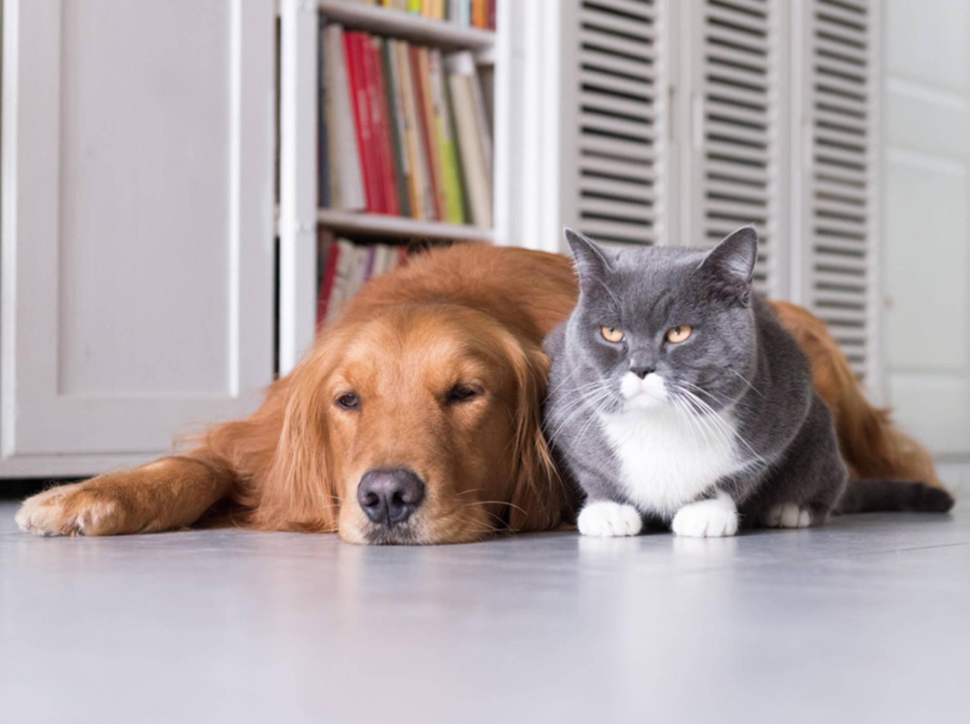 Hund und Katze werden immer älter; dadurch steigen jedoch auch die Fälle von Demenz bei Tieren – Shutterstock / Chendongshan