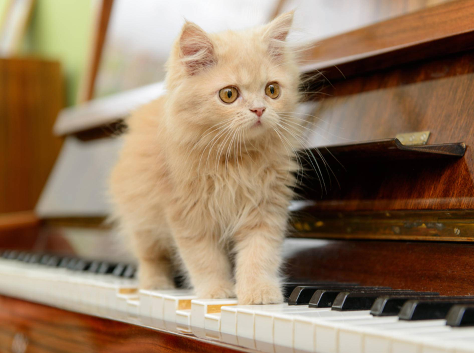 Welche Musik hören Katzen am liebsten? Diese Minimiez mag wohl am liebsten Klavierklänge – Shutterstock / Inna Astakhova