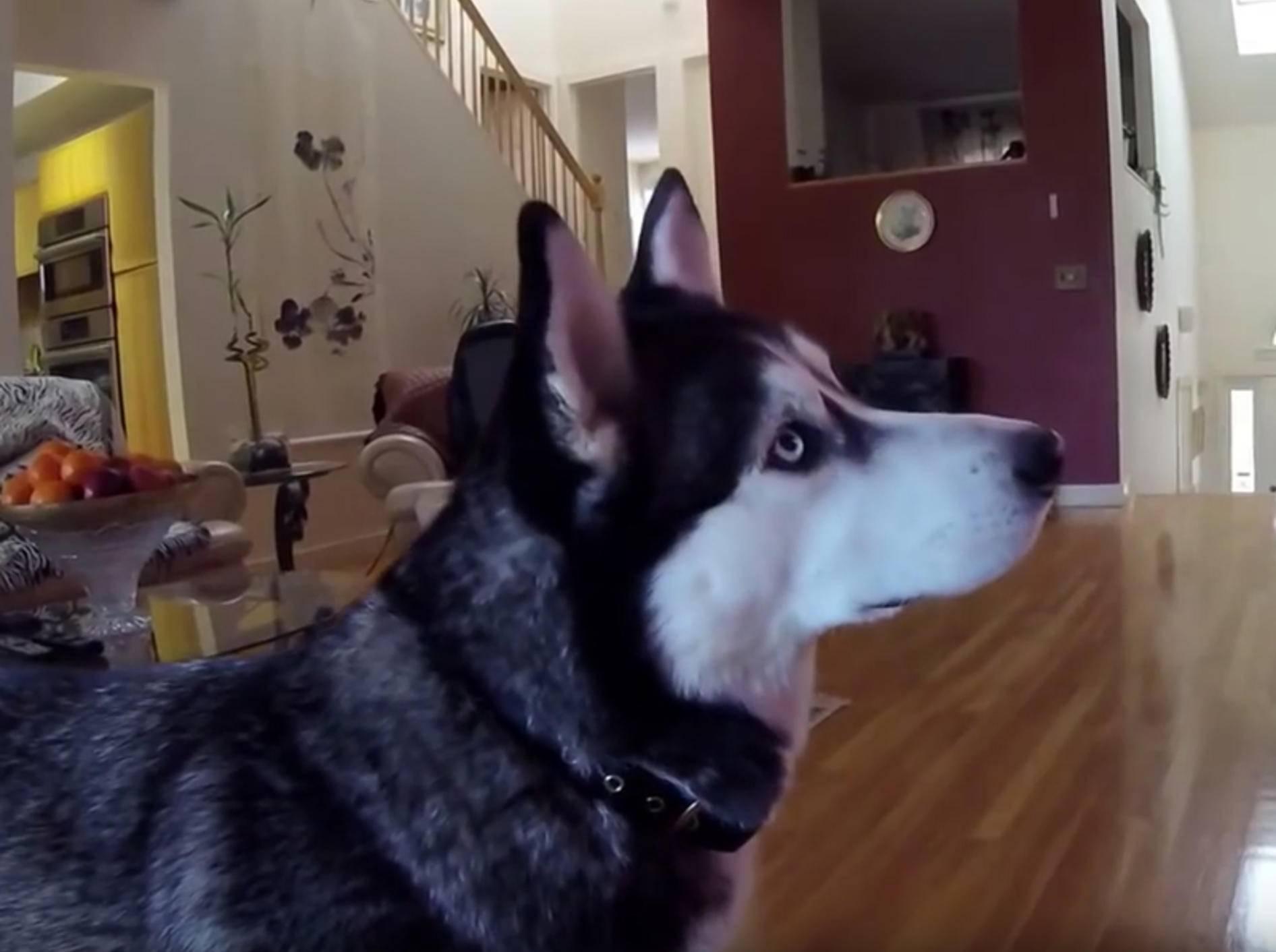 Husky Max ist fasziniert von Tiervideos – YouTube / Rumble Viral