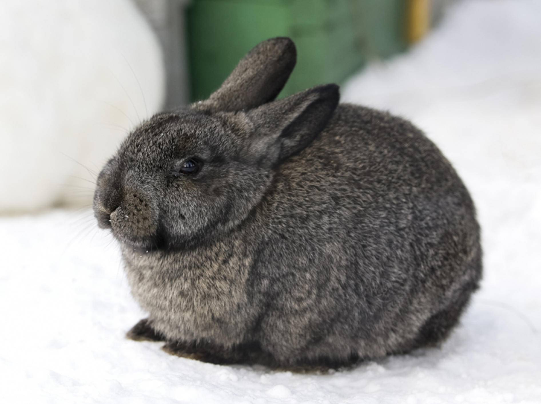 Kaninchen fühlen sich für gewöhnlich auch im Winter draußen wohl – Shutterstock / StockPhotosLV