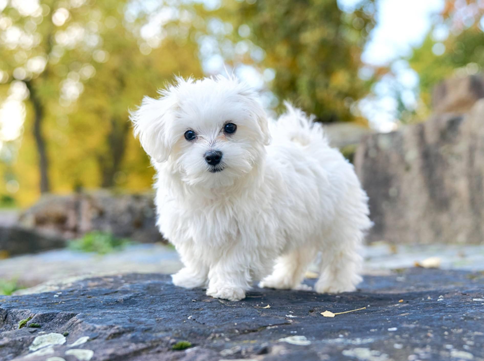 Malteser-Hunde gehören zu den älteste Hunderassen Europas – Shutterstock / Sadovnikovrn