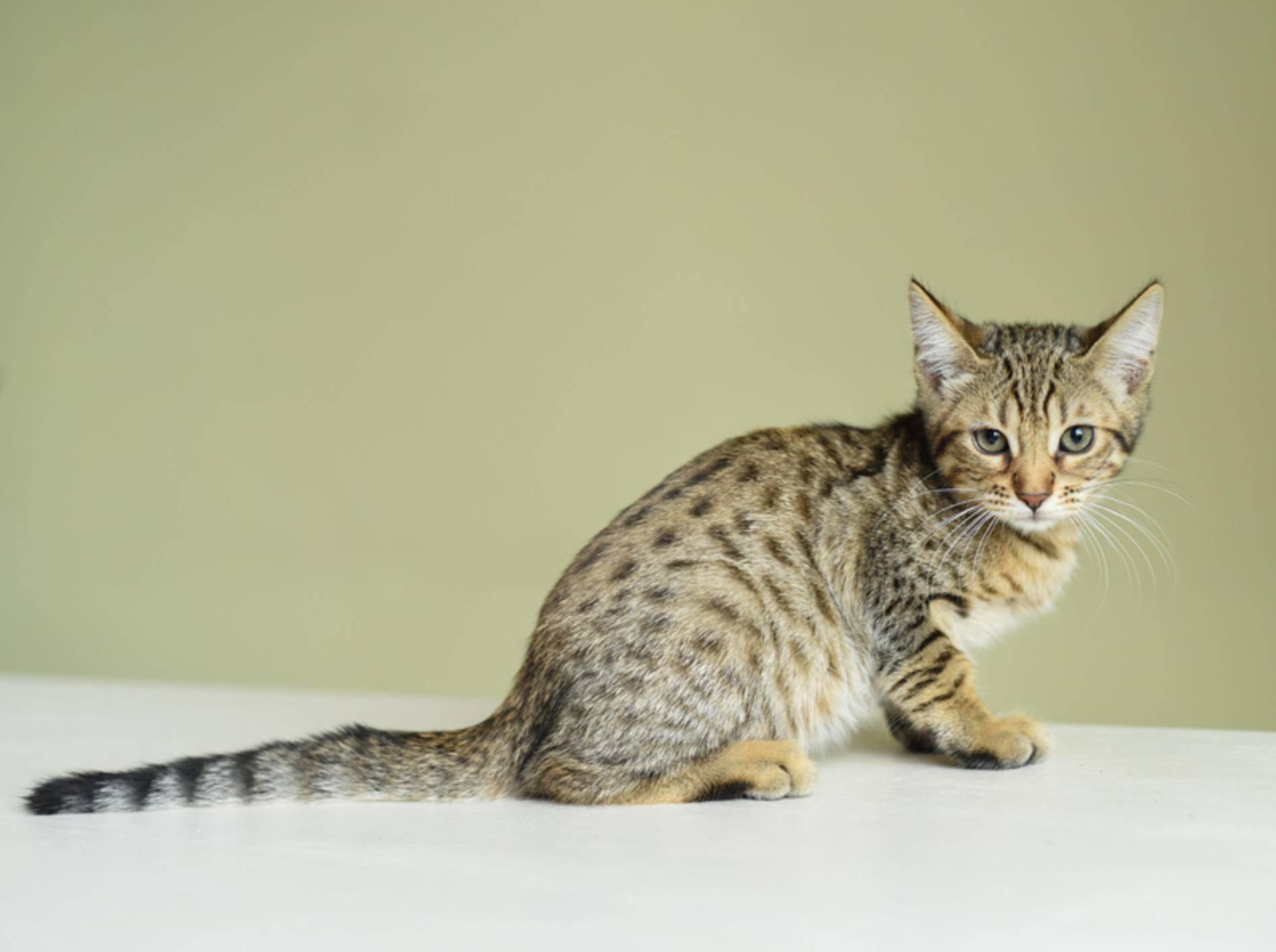 Savannah-Katzen stammen vom wilden Serval ab, was sich in ihrem exotischen Aussehen widerspiegelt – Shutterstock / Korneevets-Vydrenkova