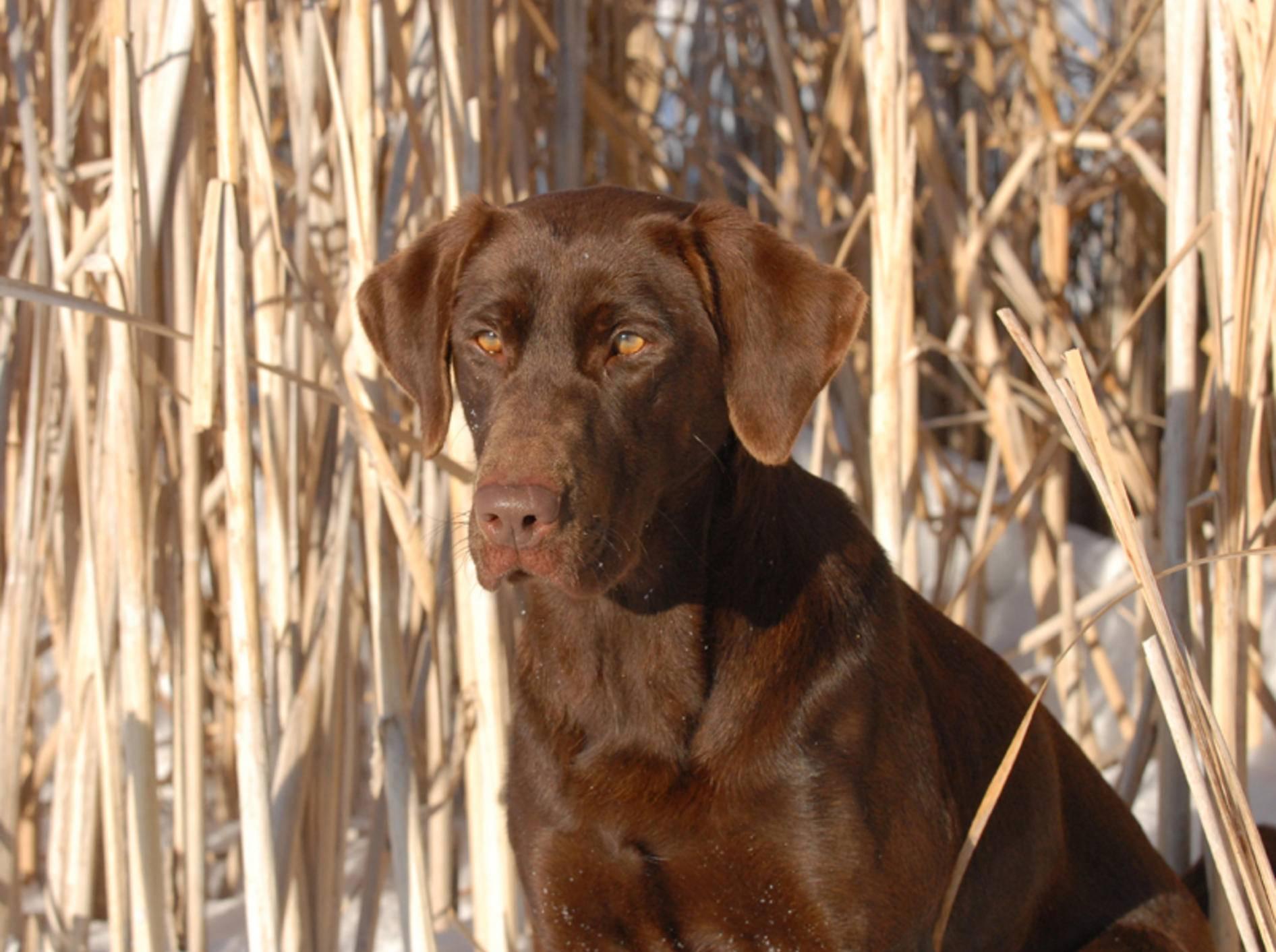 Glänzendes Fell wie bei diesem hübschen Labrador ist ein Zeichen für gute Gesundheit – Shutterstock / Kirk Geisler