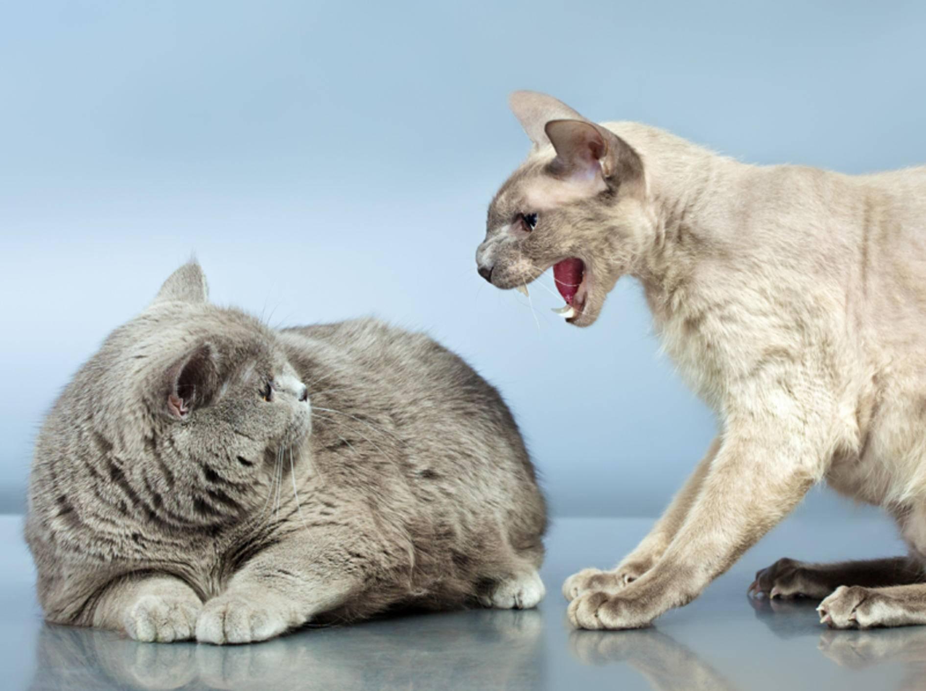 Durch umgeleitete Aggression können aus den innigsten Katzenfreunden Feinde werden – Shutterstock / Petr Malyshev