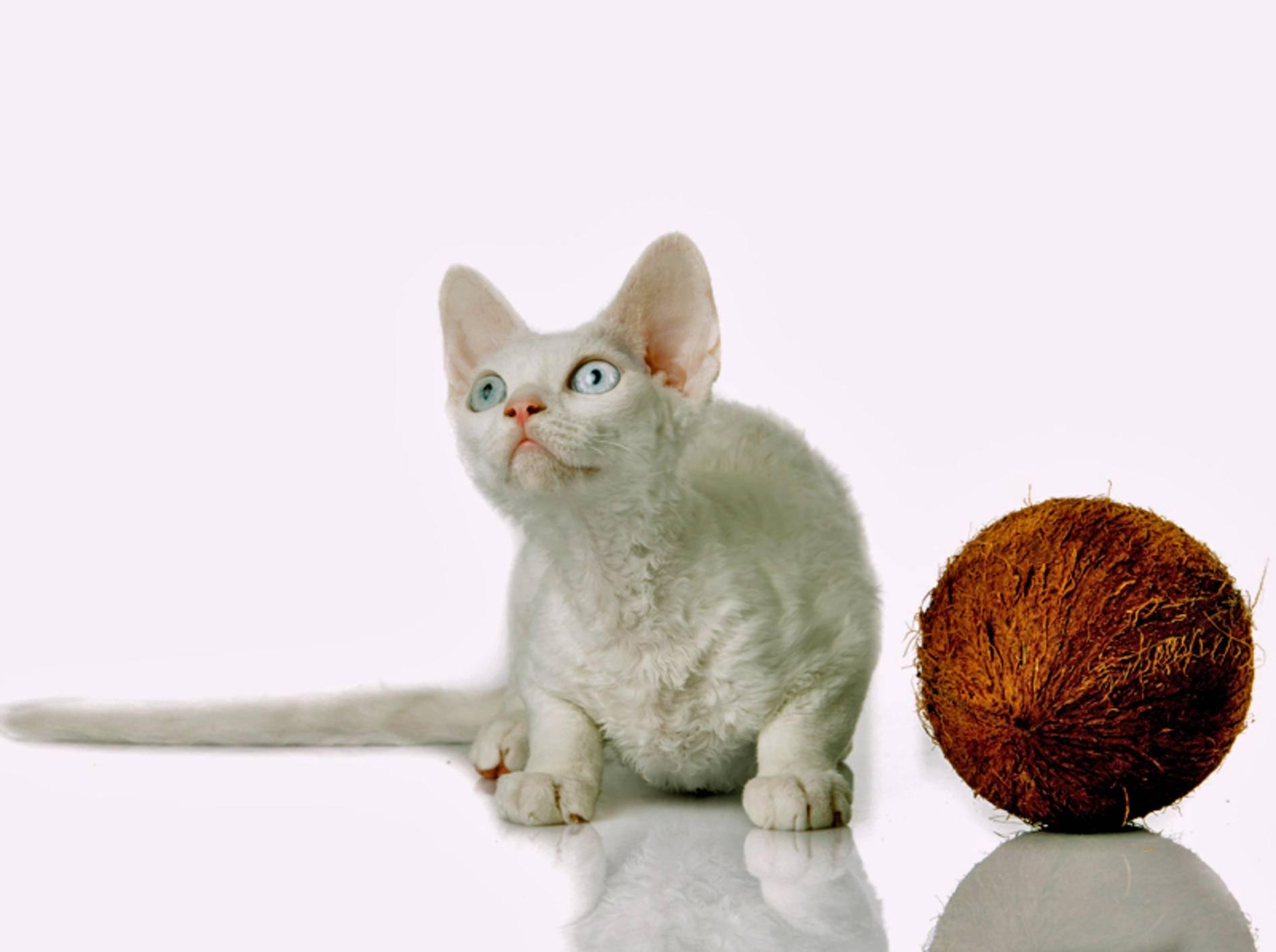 Diese Devon Rex Katze ist etwas skeptisch, ob Kokosöl ihr wirklich hilft – Shutterstock / Ewais