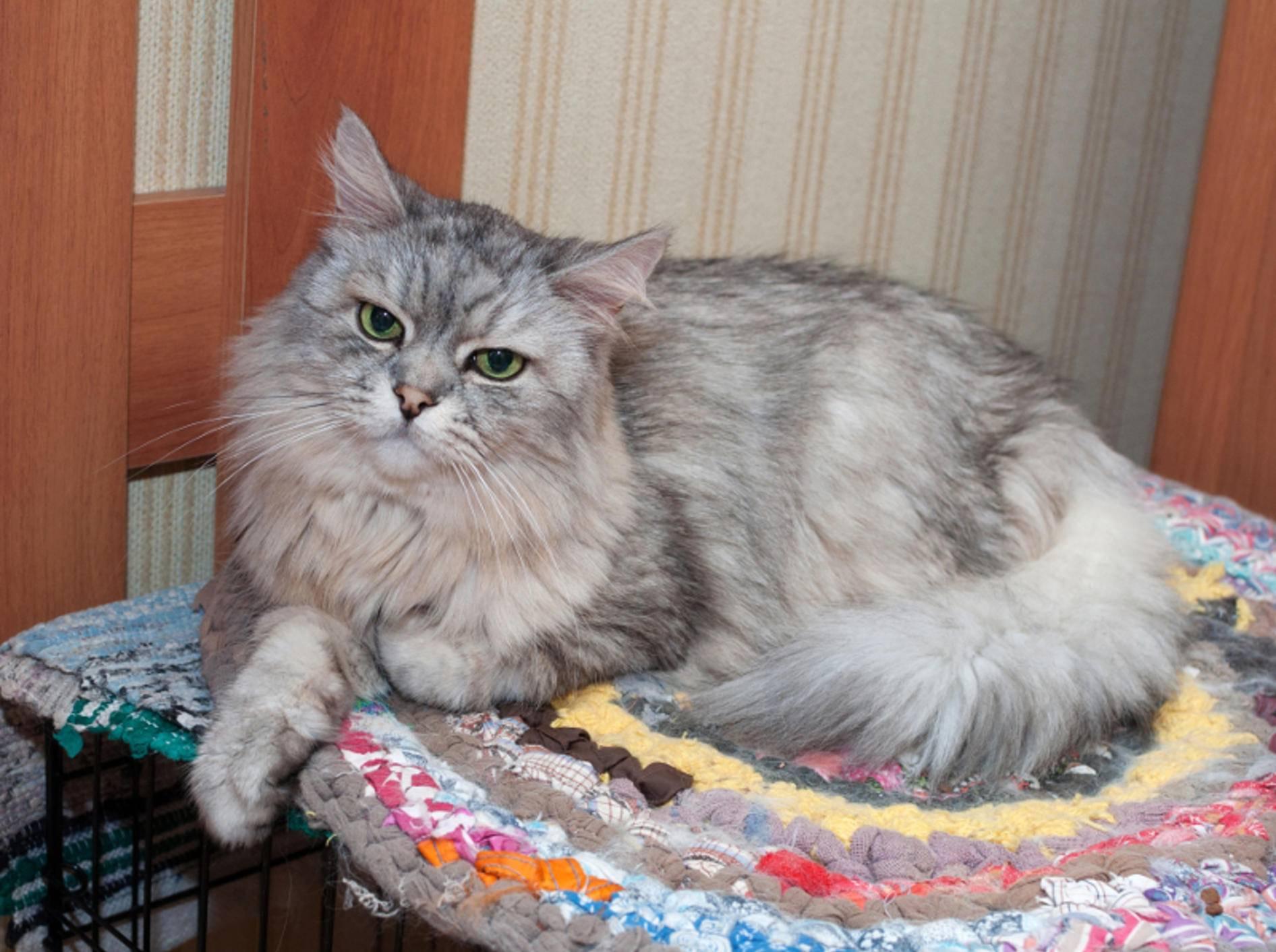 Übergewichtige Katzen leben mit einem erhöhtem Risiko, an Diabetes zu erkranken – Shutterstock / Kristi Blokhin