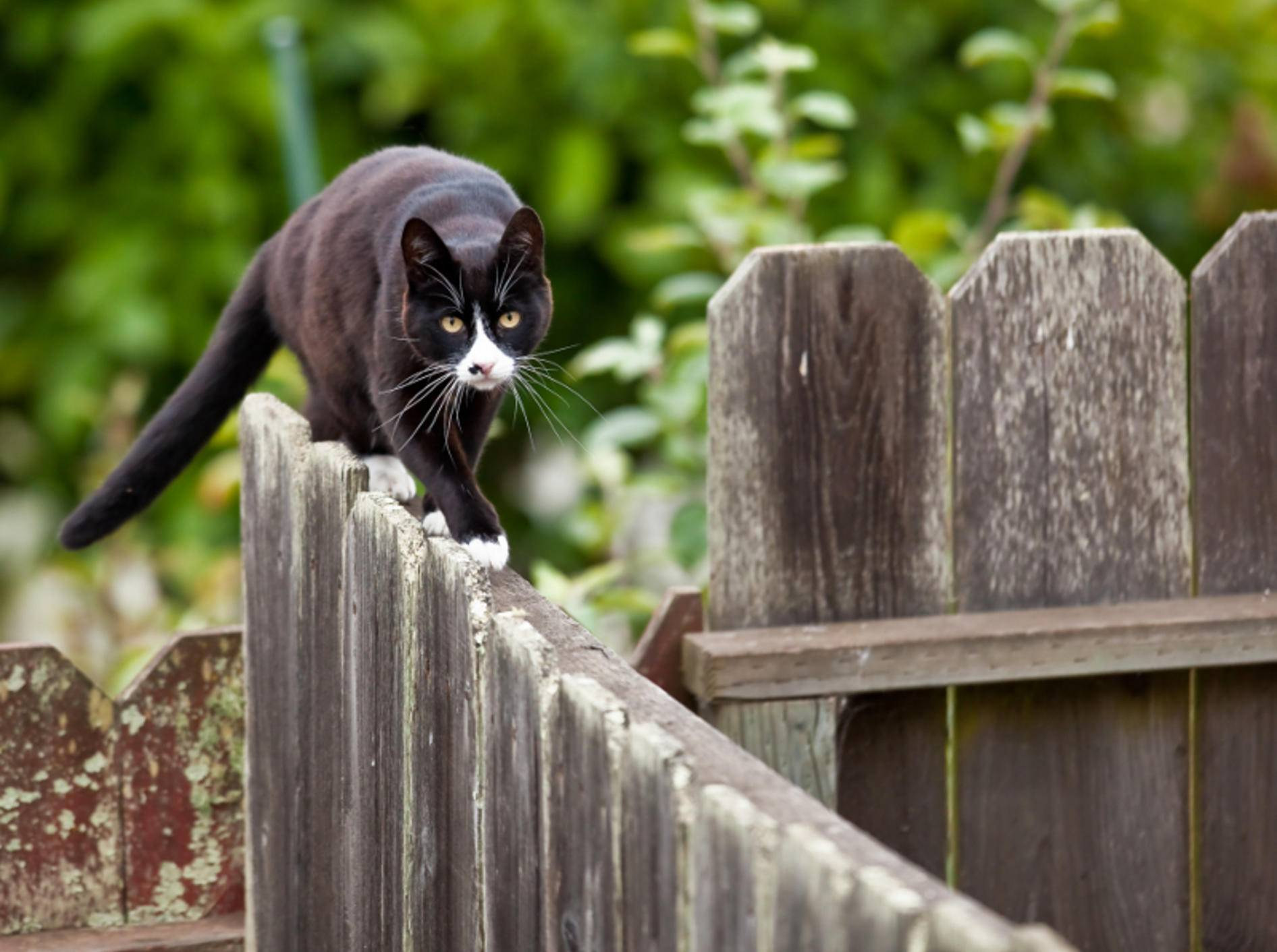 Freigänger bleiben nur selten innerhalb des eigenen Gartenzauns – Shutterstock / Anatoliy Lukich