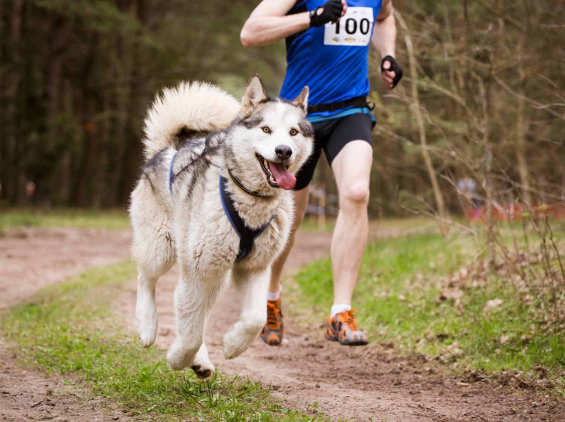 Huskys lieben es, gemeinsam mit Artgenossen oder ihren Herzmenschen durch die Natur zu rasen – Shutterstock / Migle Narbutaite
