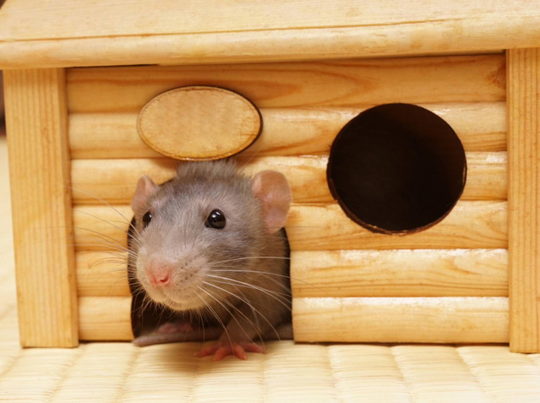 """""""So, dann komm ich mal aus dem Schlafhaus und schau mich ein wenig in meinem Mäusegehege um"""" – Shutterstock / Shcherbakov Ilya"""