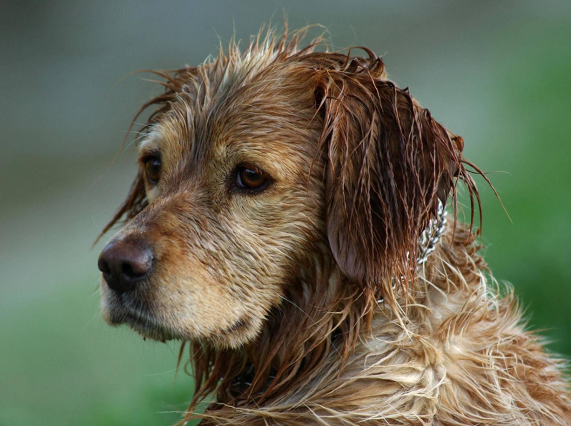 Süß, lustig, liebenswert und ... stinkig! Nasse Hunde sind manchmal schon eine kleine Herausforderung – Shutterstock / Dan74
