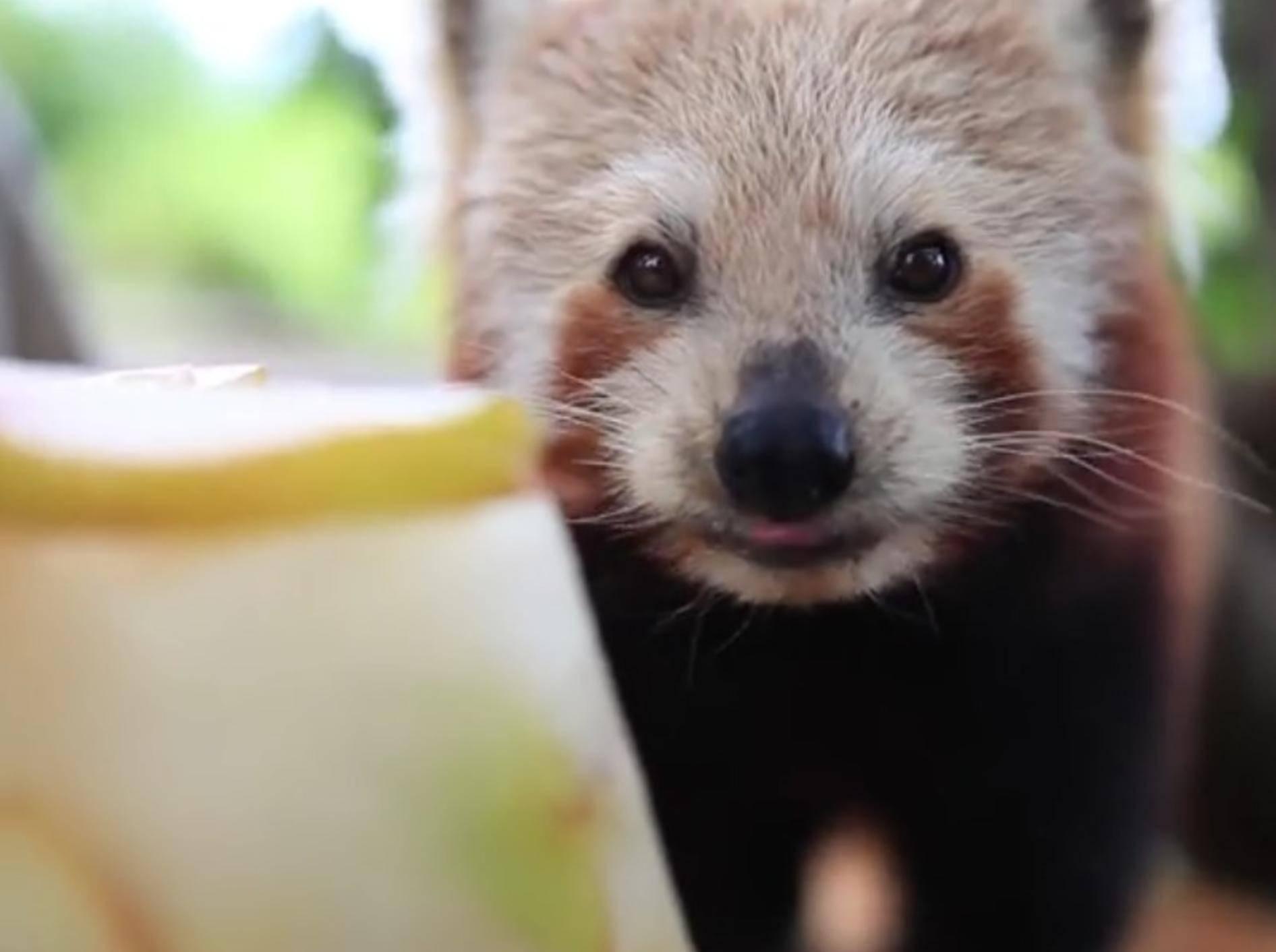 Dieser Kleine Panda feiert seinen Geburtstag mit einem leckeren Geschenk – YouTube / Symbio Wildlife Park