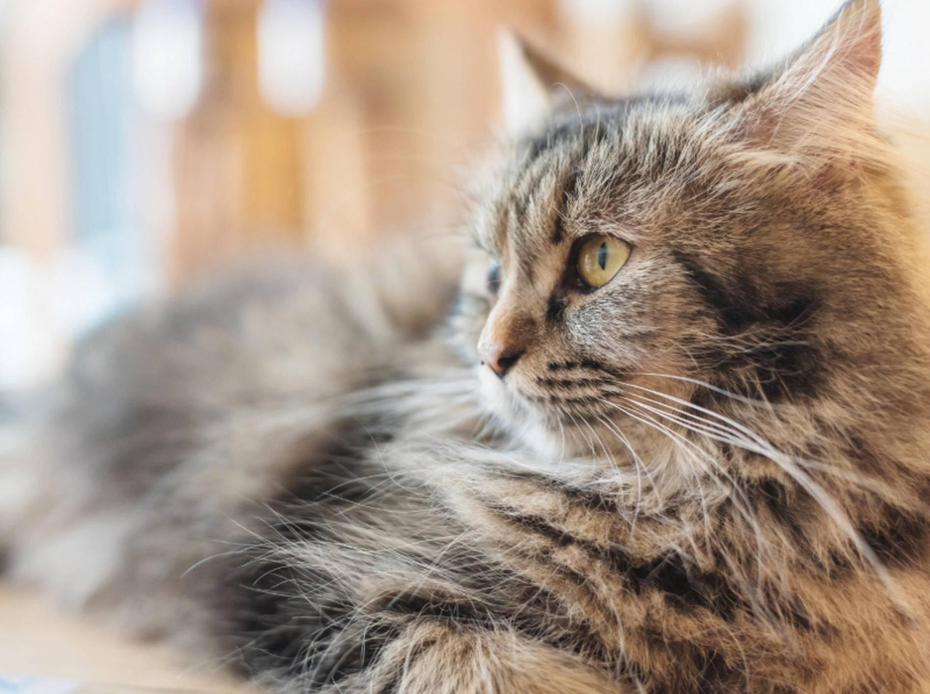 Die Schnurrhaare sind für fast alle Katzenartigen enorm wichtig, da sie zum Tastsinn gehören und Felinen ein Bild ihrer Umwelt vermitteln – Shutterstock / Tarbell Studio Photo