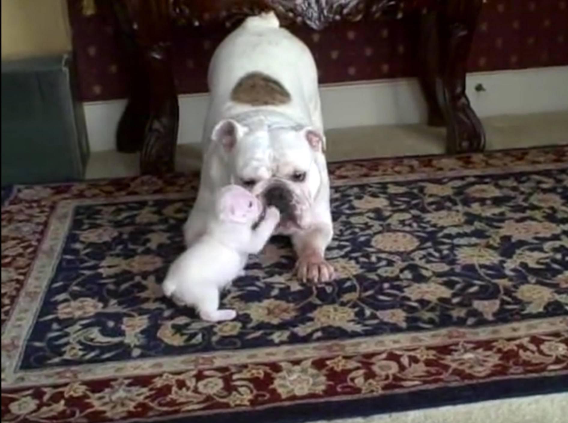 Frecher Bulldoggenwelpe Elvis protestiert gegen seine Mama – YouTube / Rob Brixey